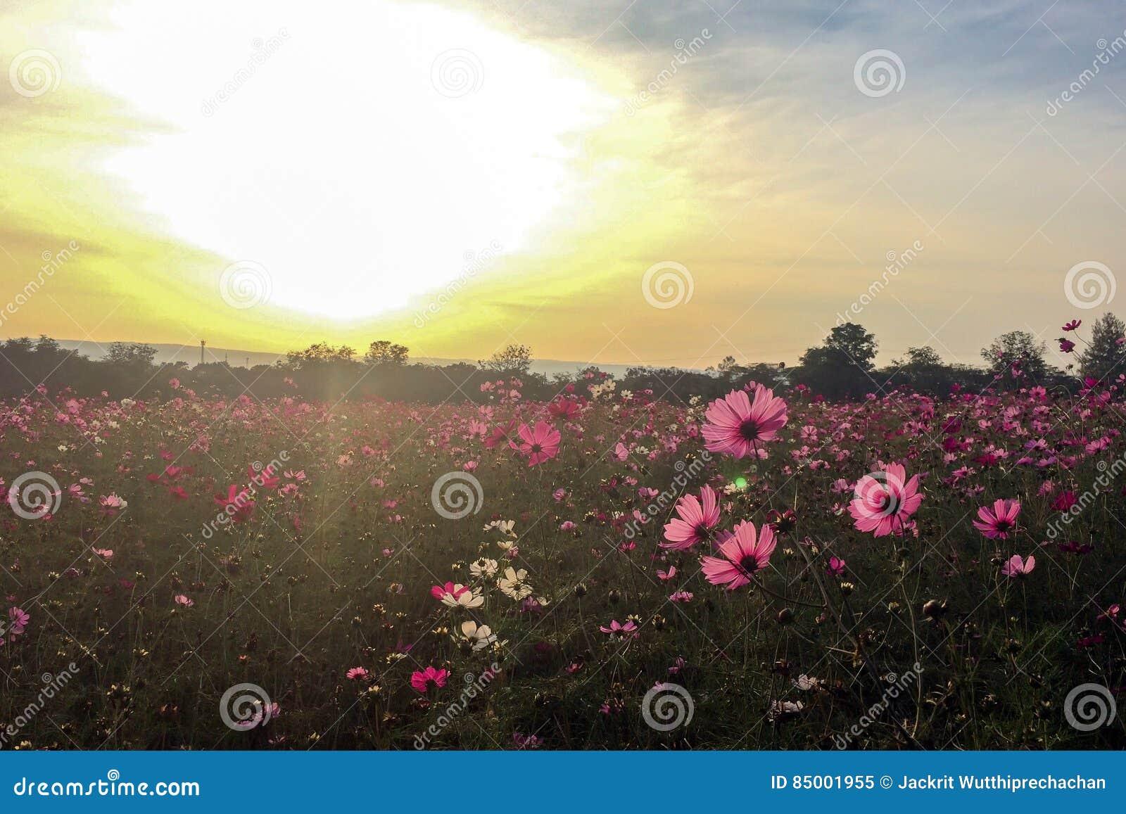 La primavera grande coloca concepto Prado con la floración flores rosadas y blancas del cosmos en estación de primavera en la esq