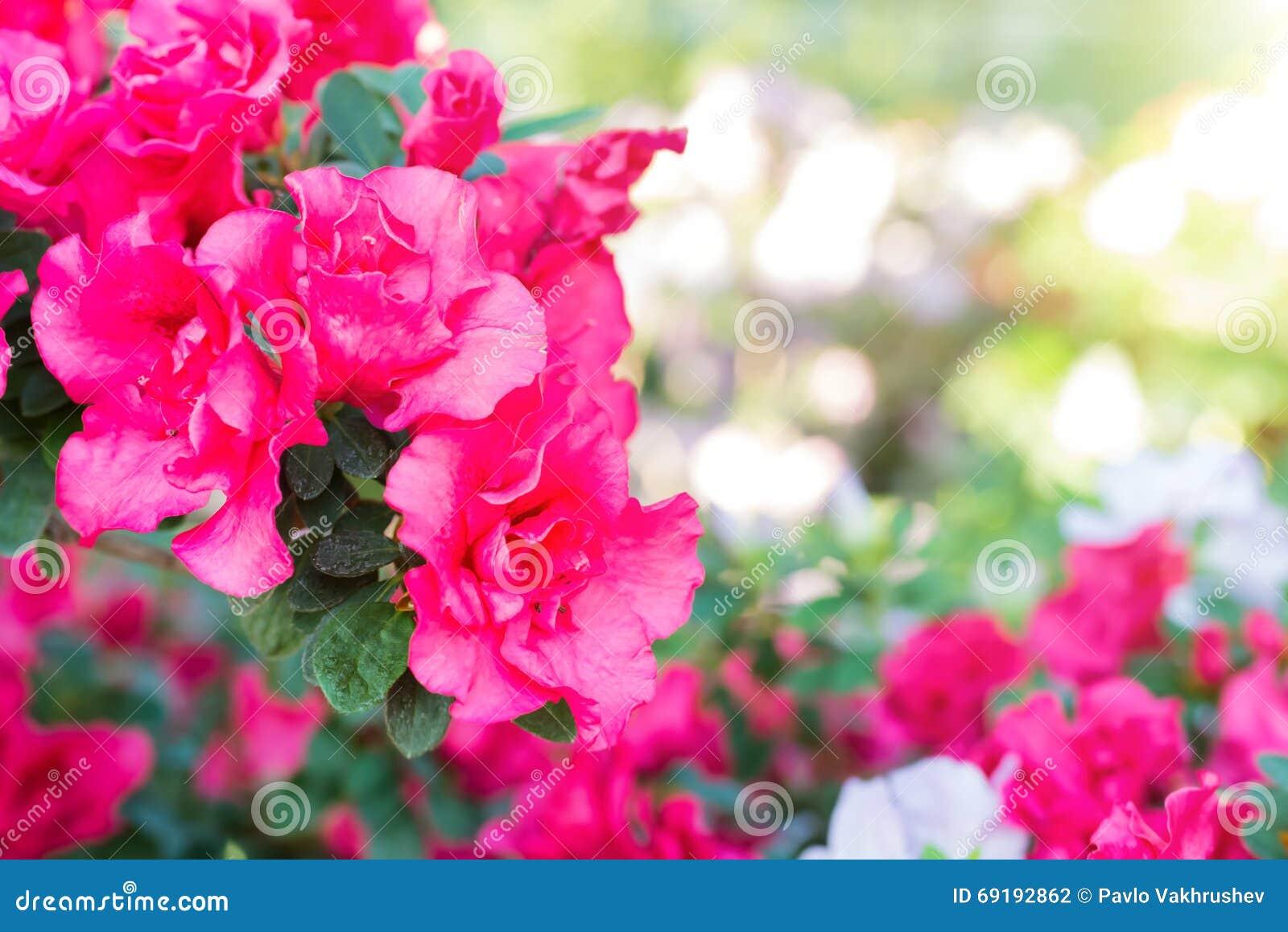 La primavera púrpura florece la azalea