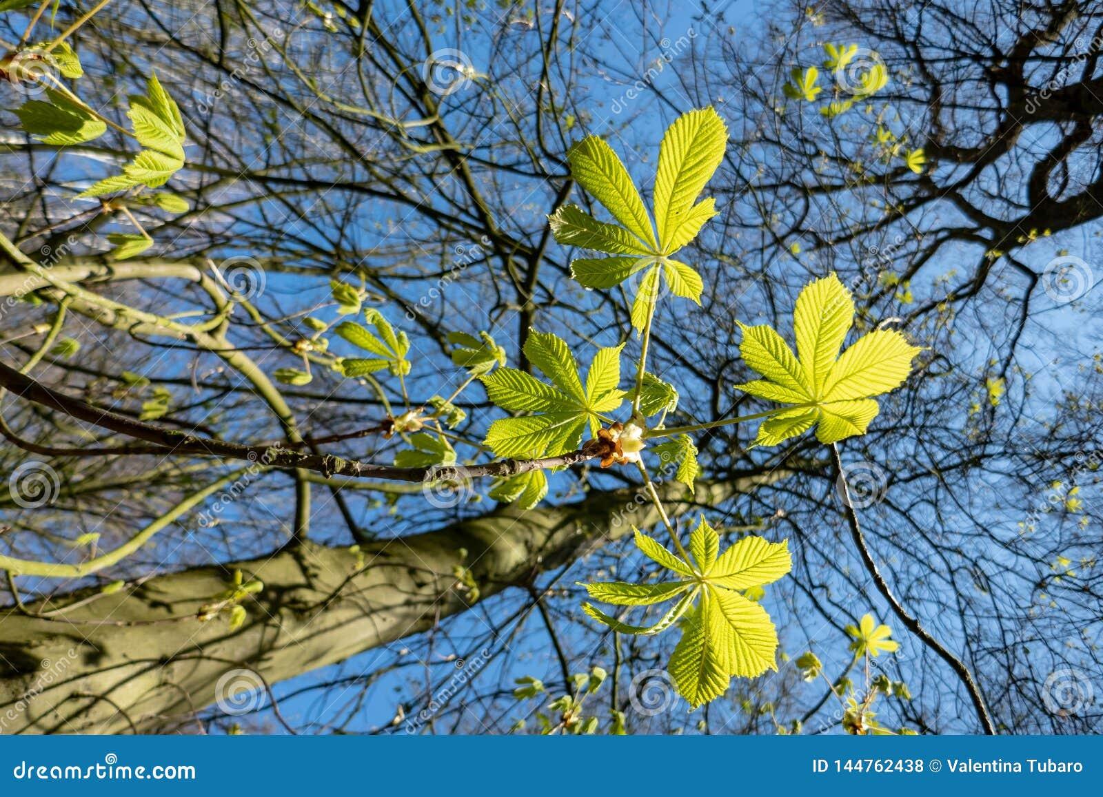 La primavera se va de la castaña de caballo y del cielo azul