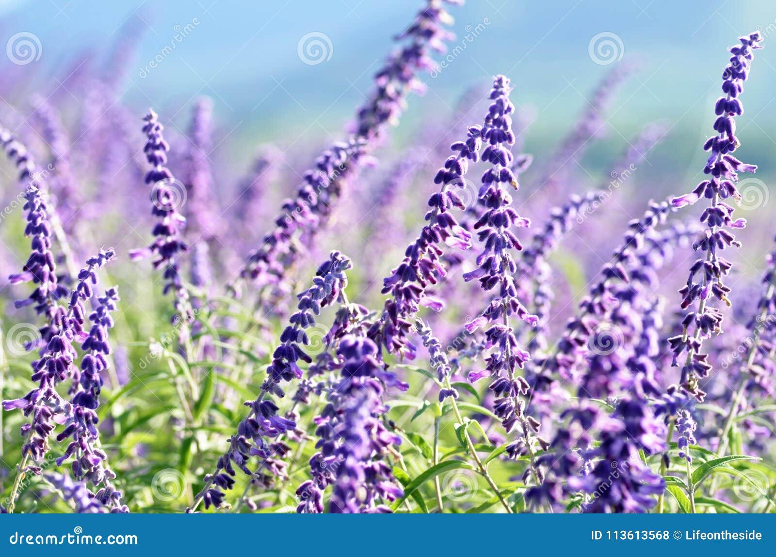 La primavera violeta del campo del papel pintado del fondo florece paisaje rural