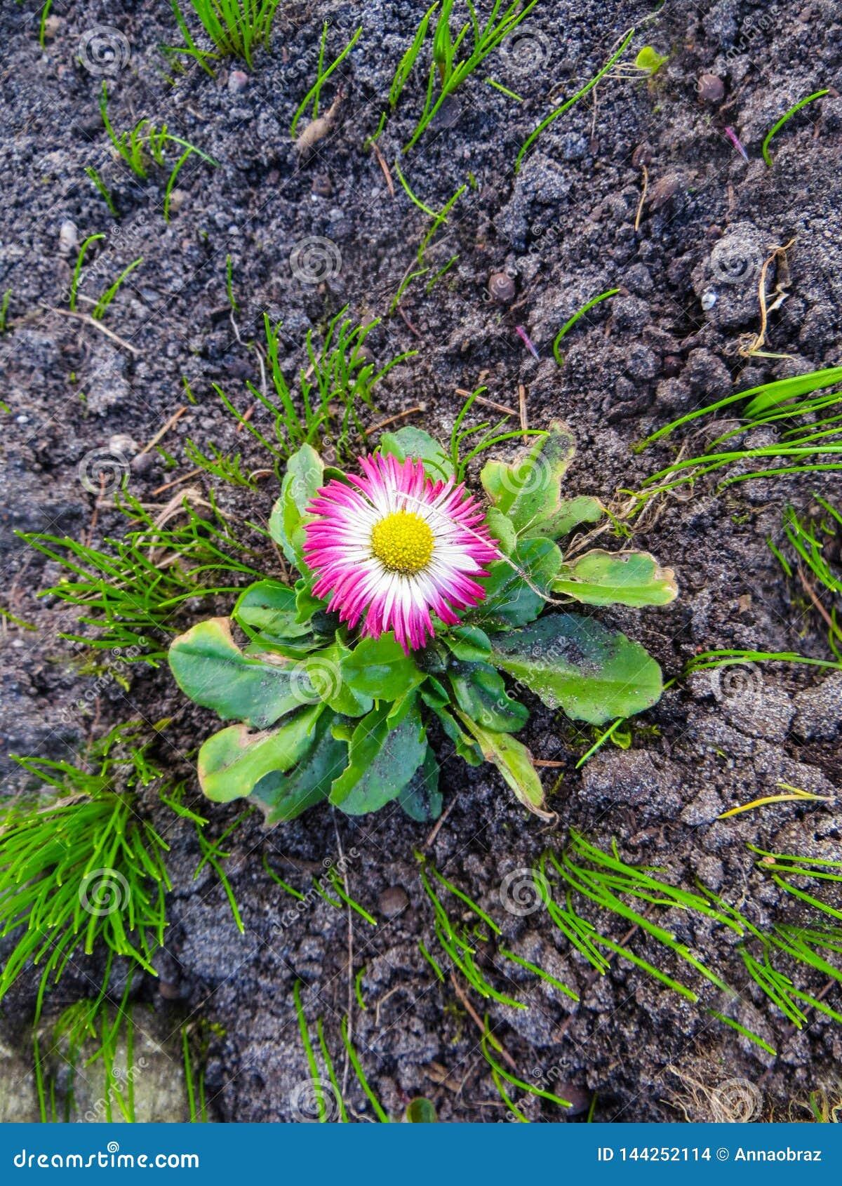 La primera flor rosada floreciente de la margarita, en primavera temprana