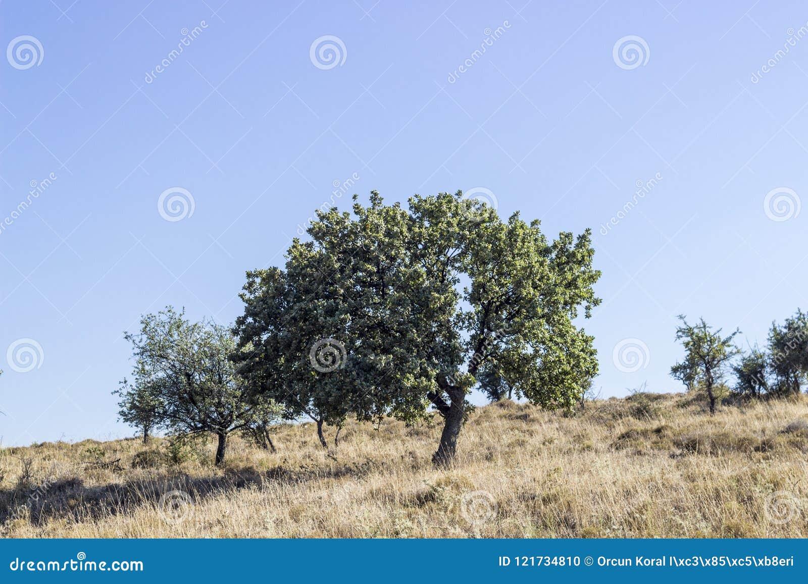 La prospettiva ha sparato dell albero verde dal lato della contea del grano della collina a Smirne a Seferihisar