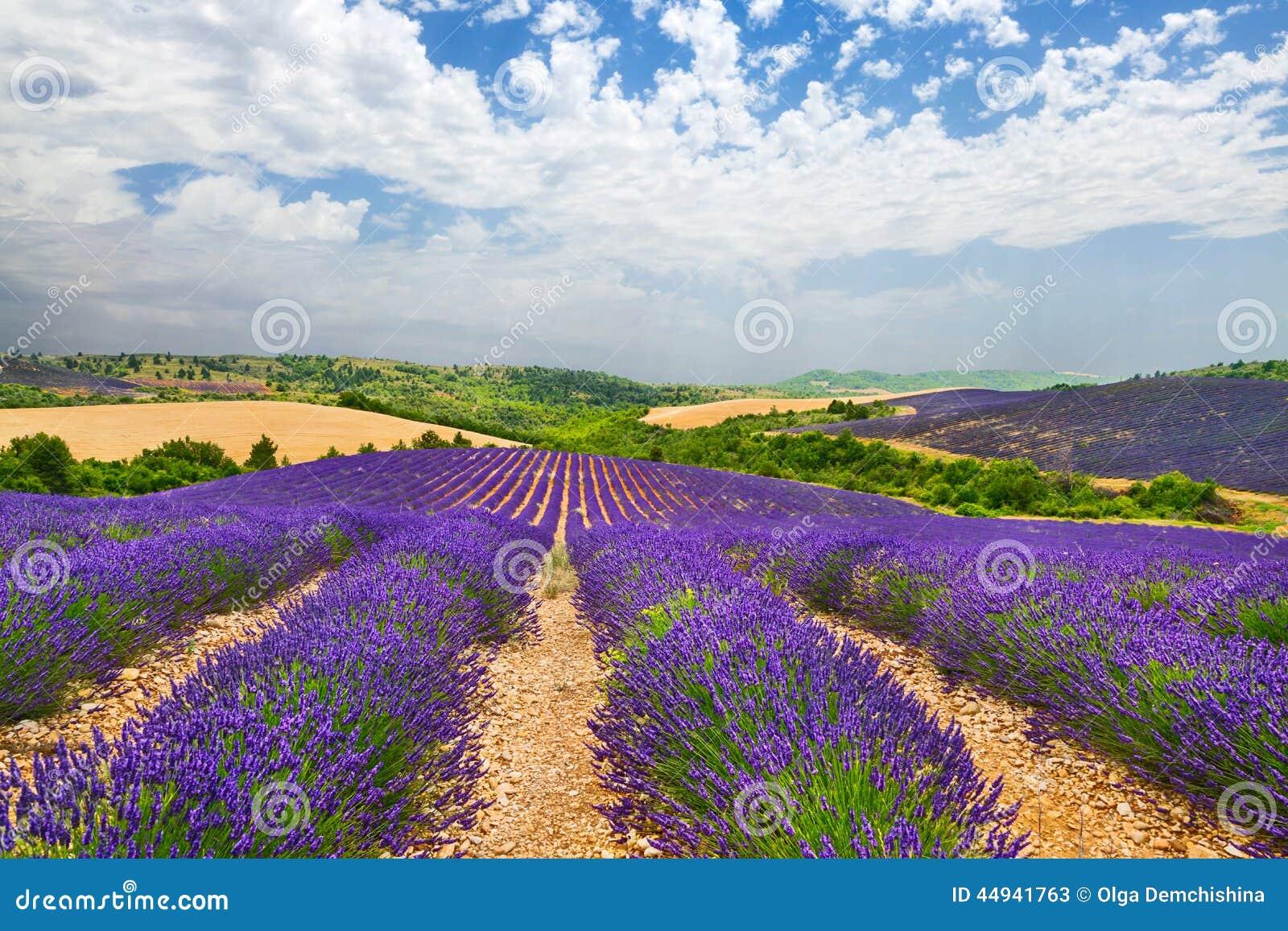 La provence avec le lavande de floraison photo stock image 44941763 - Floraison de la lavande ...