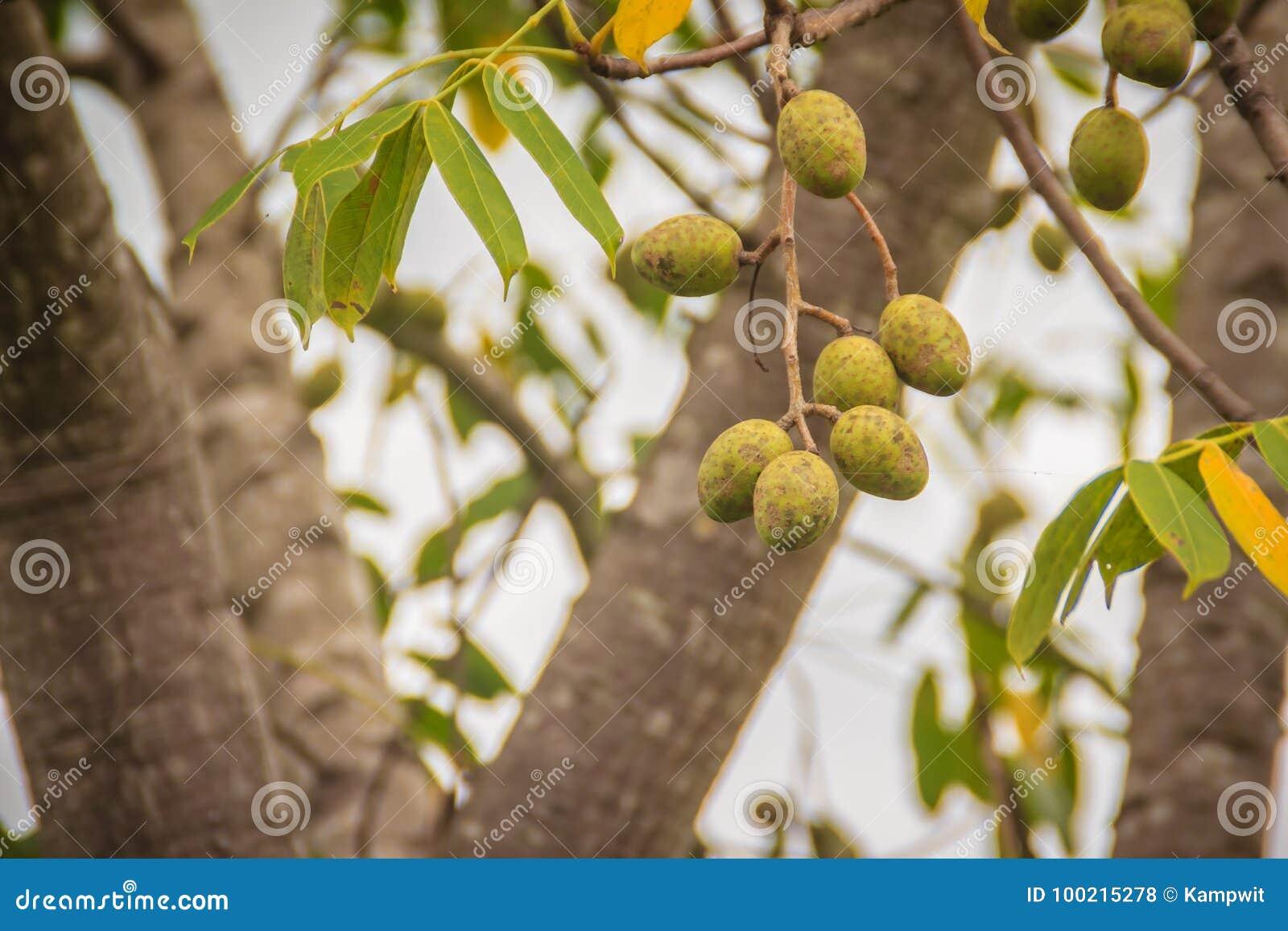 La prugna di maiale verde organica (pinnata dello Spondias) fruttifica sull albero Spondi