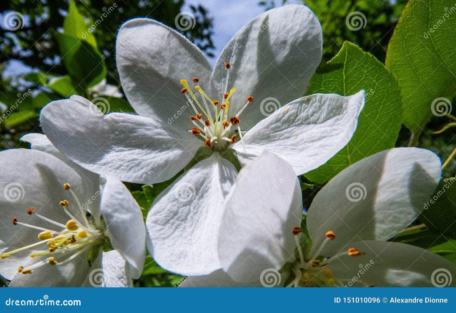 La Quebec: Foto del primo piano dei fiori di melo