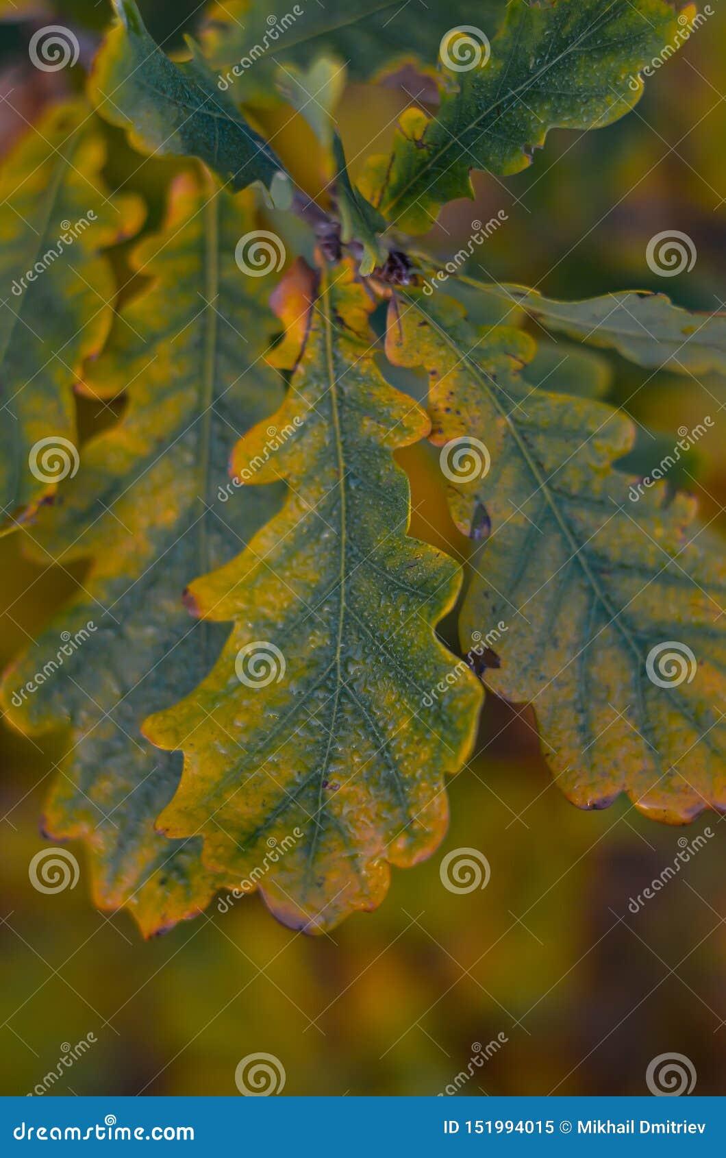 La quercia giallo verde va su un ramo con le gocce di rugiada Fucilazione all altezza d occhio Macro Fuoco selettivo