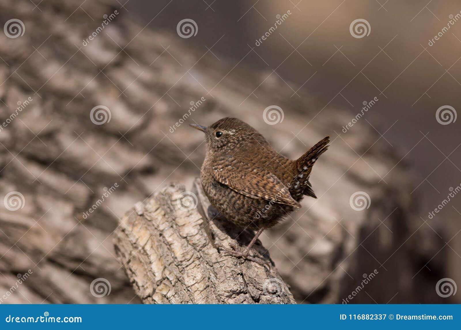 La queue écologique sauvage de photographie de migration d oiseau d oiseau insectivore d oiseau de roitelet a retourné le corps a