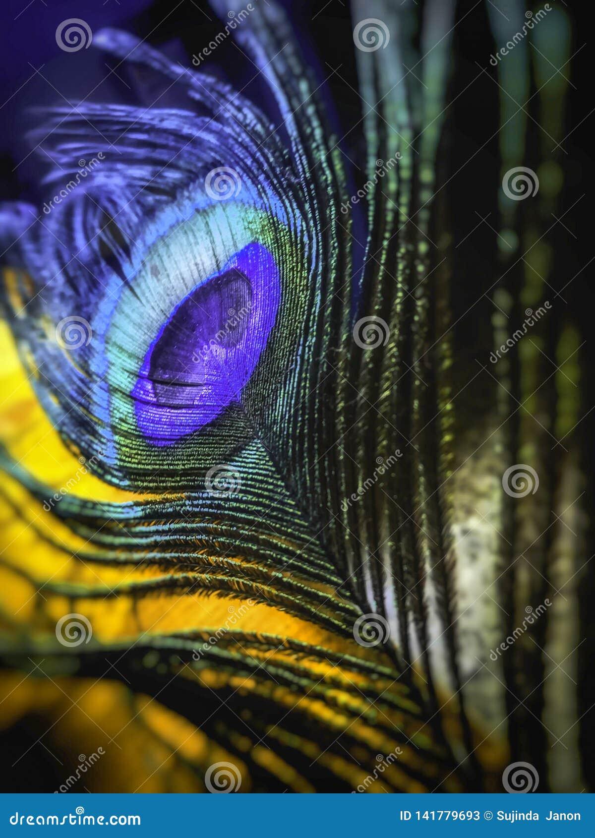 La queue de couleur du paon frais de forme