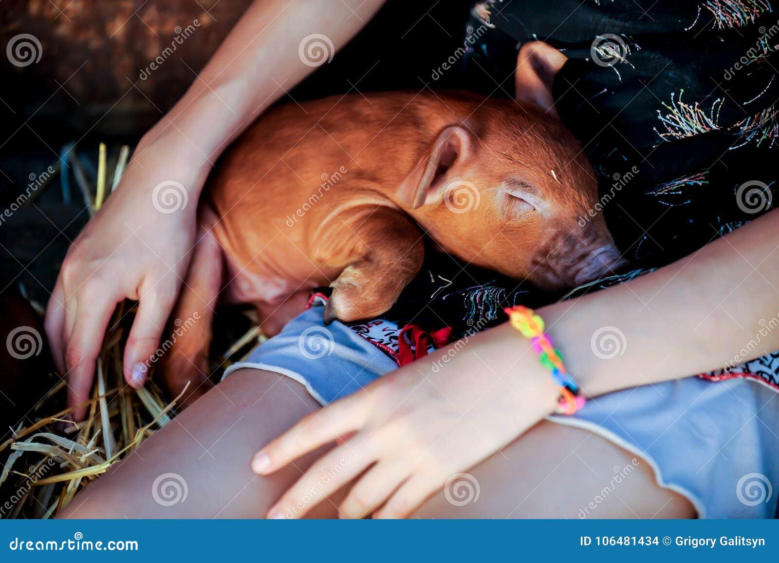 La ragazza sta giocando con i maiali neonati rossi della razza del duroc Il concetto di preoccuparsi e di preoccuparsi per gli an