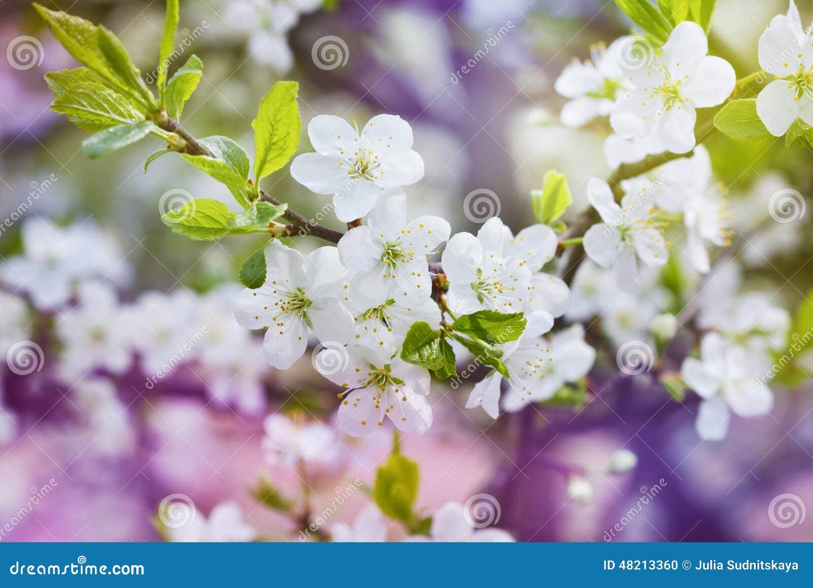 La rama de la cereza del flor, primavera hermosa florece para el fondo del vintage