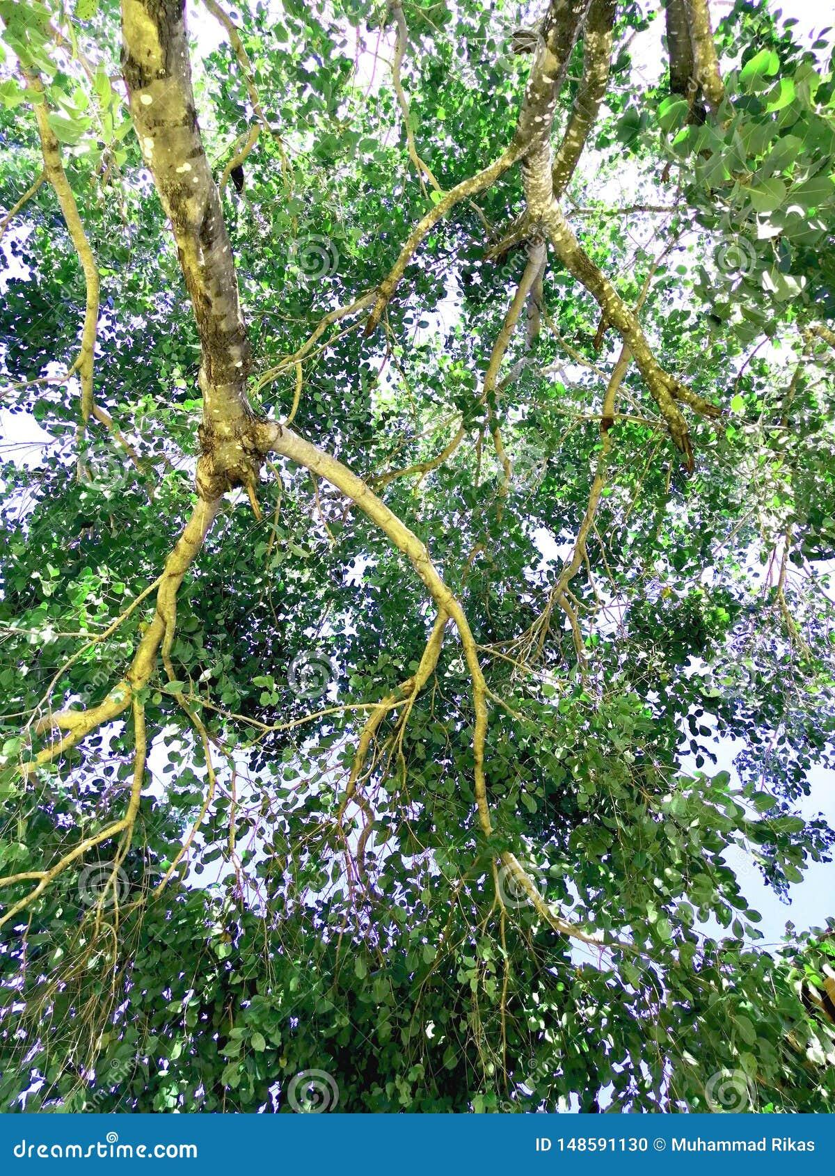 La rama del árbol gigante
