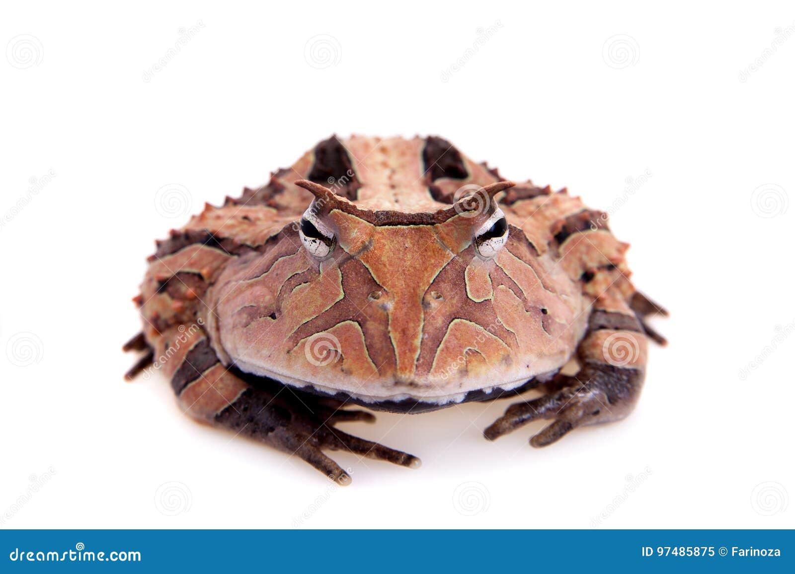 La rana cornuta del Surinam isolata su bianco
