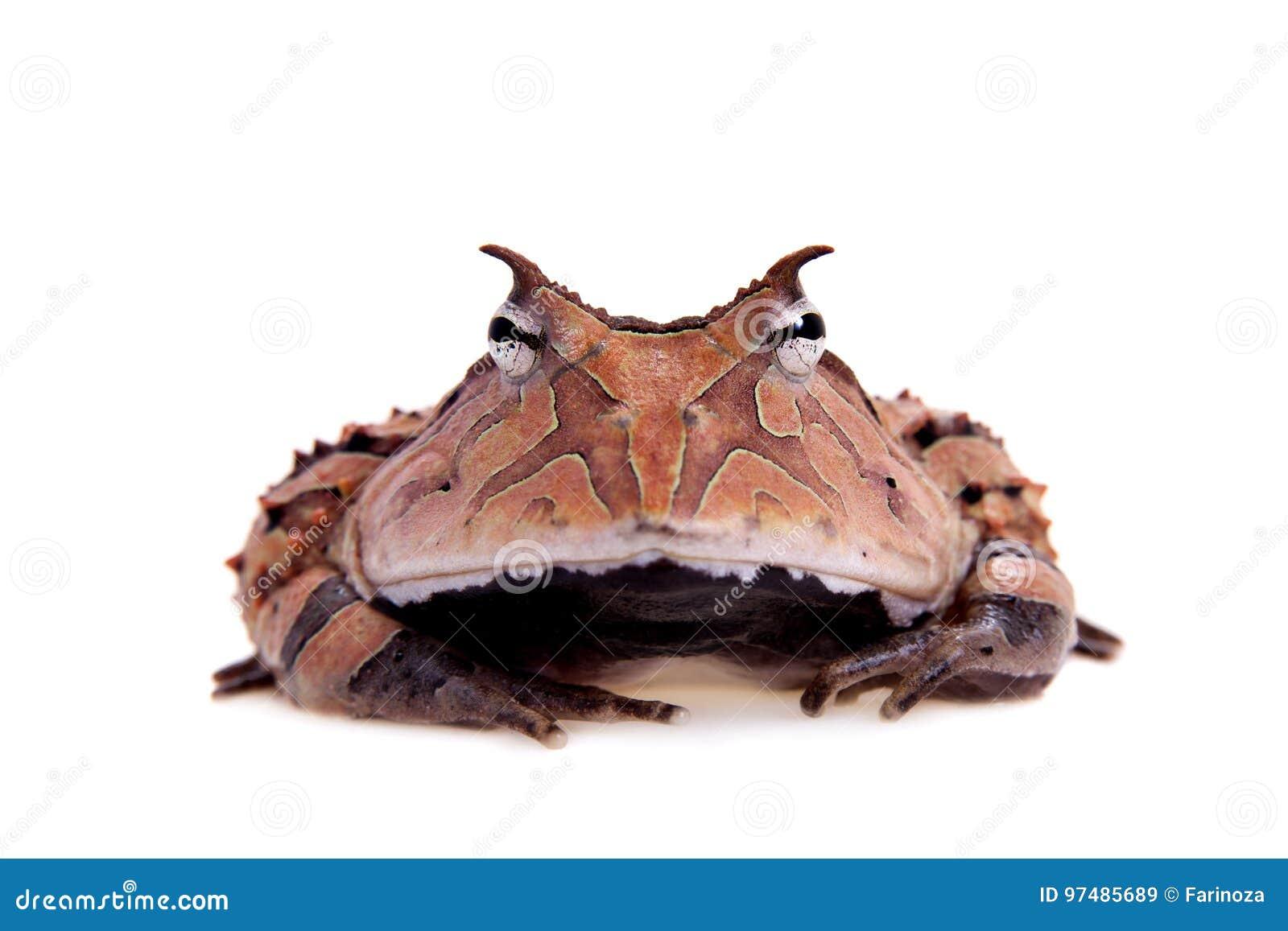 La rana cornuta del Surinam su bianco