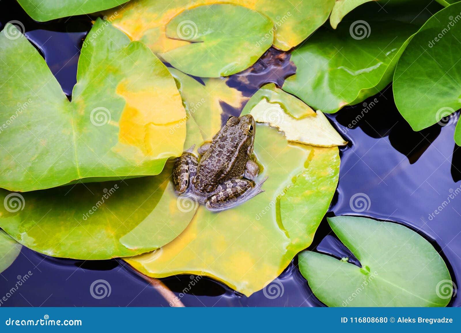 La rana si siede sulle foglie dei gigli