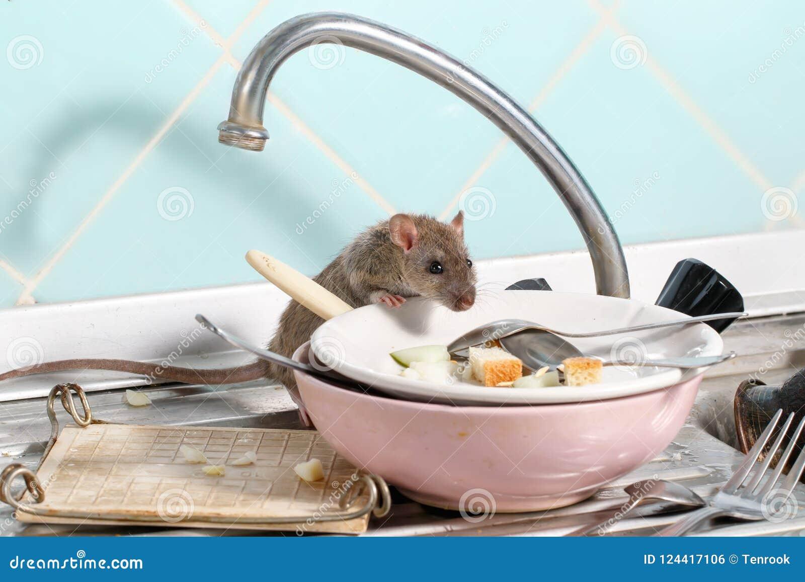 La rata joven sube en el plato con las sobras de la comida en una placa en fregadero en la cocina
