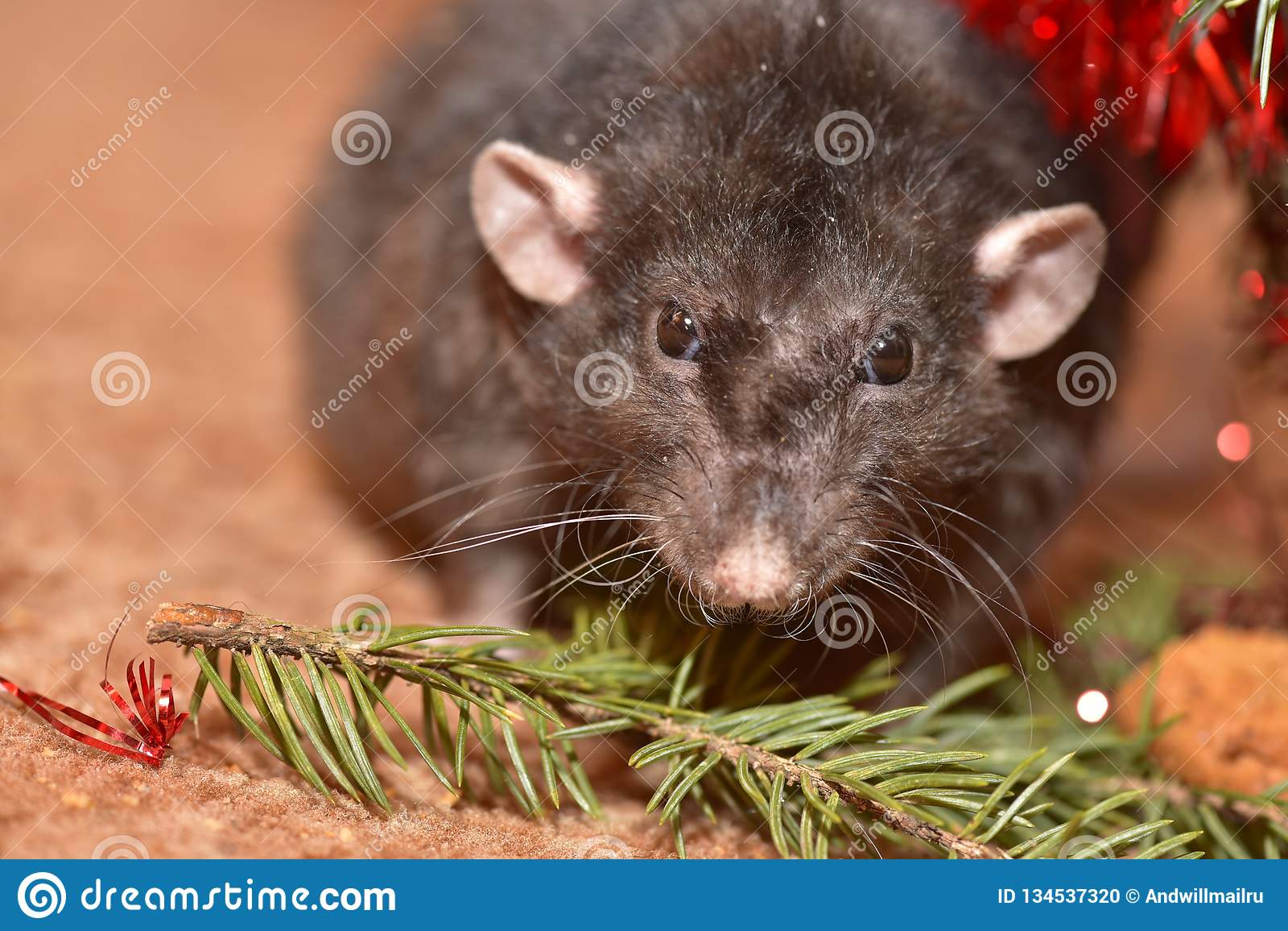 La rata mastica las galletas en Año Nuevo