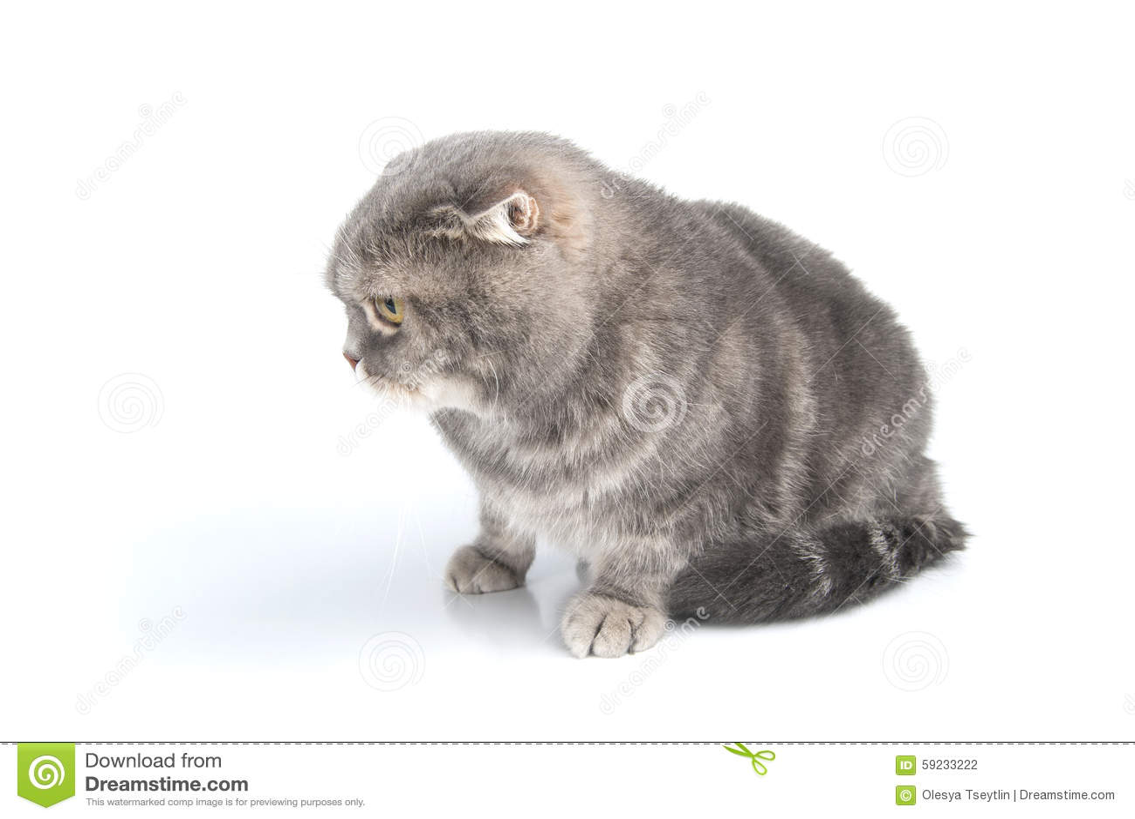 La raza del gato del doblez del escocés mira abajo