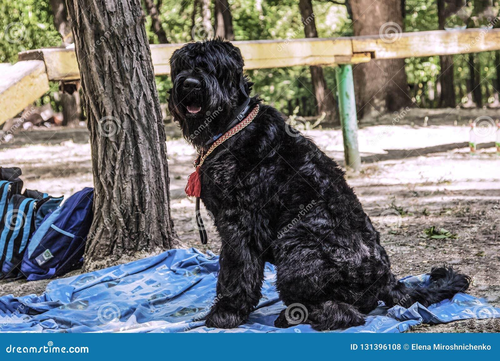 La raza negra rusa del perro de Terrier, burebred