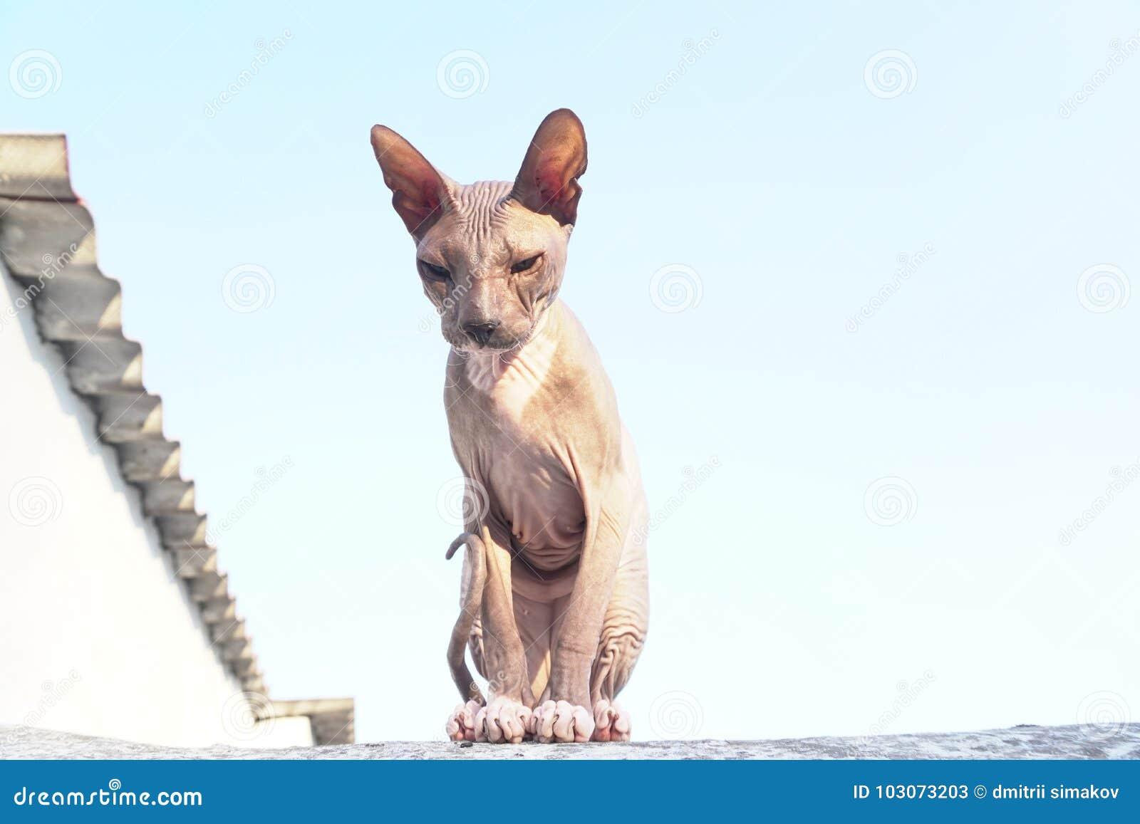La razza Sphynx del gatto si siede sulla via