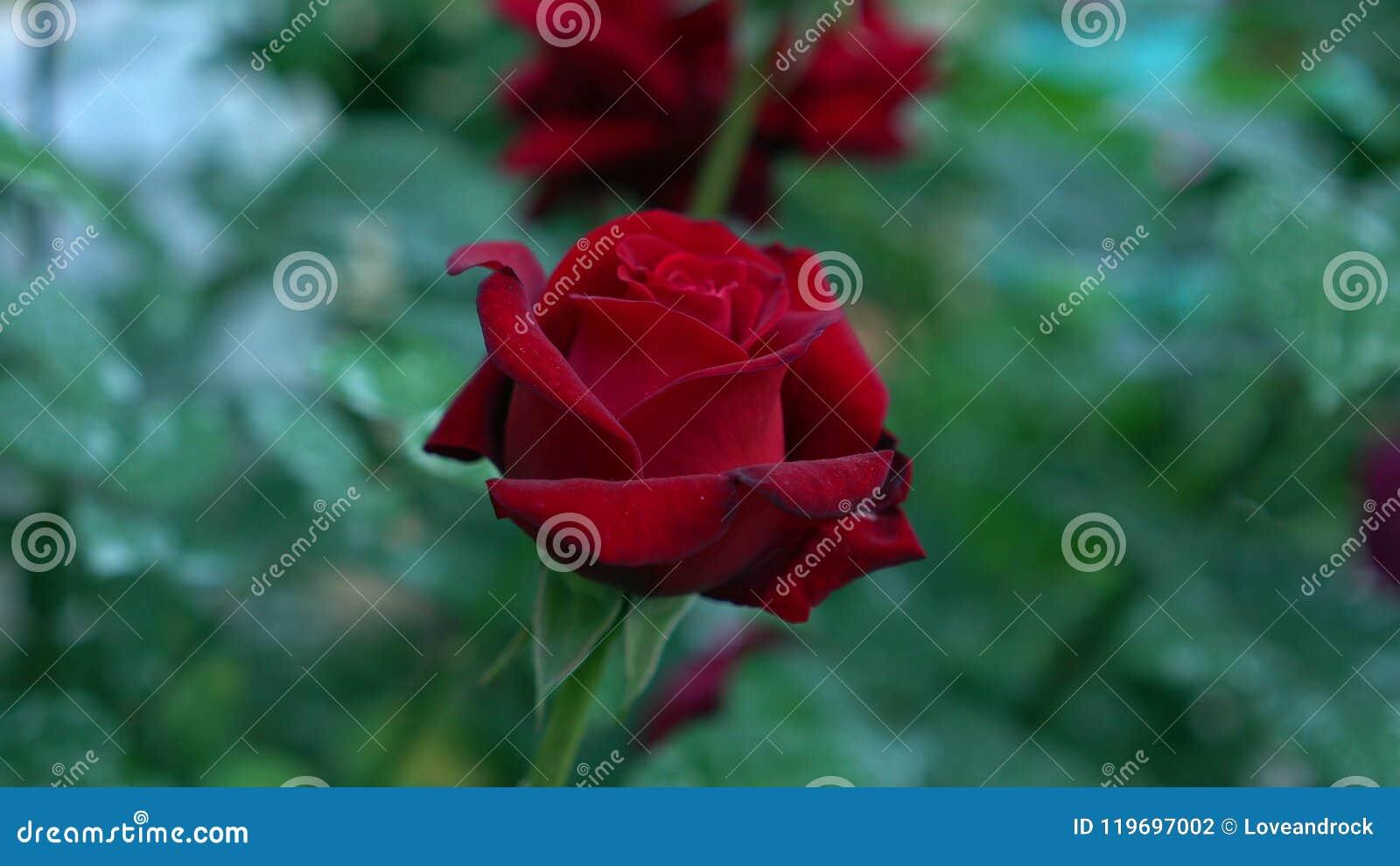 La Rosa Hermosa Del Escarlata Del Brote Floreciente Florece ...