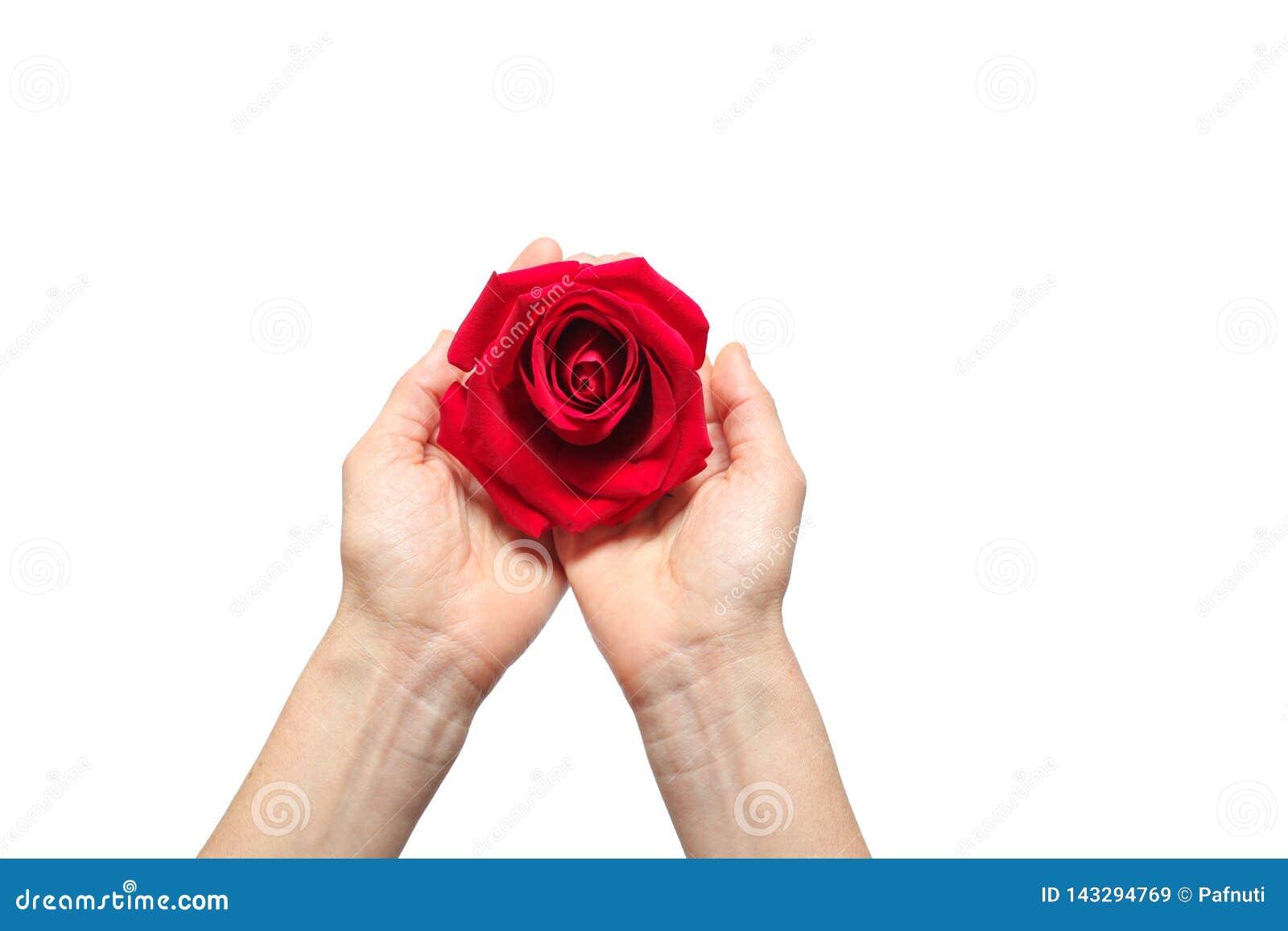 La rosa roja adentro entrega el fondo blanco