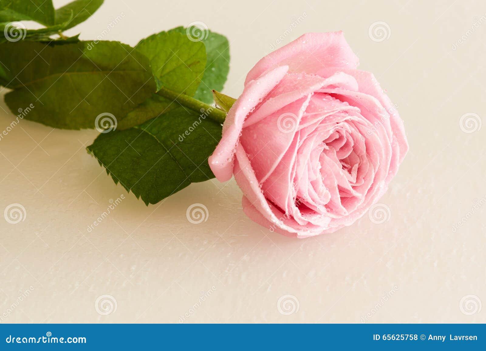 La rose de rose avec de l eau se laisse tomber sur la surface blanche