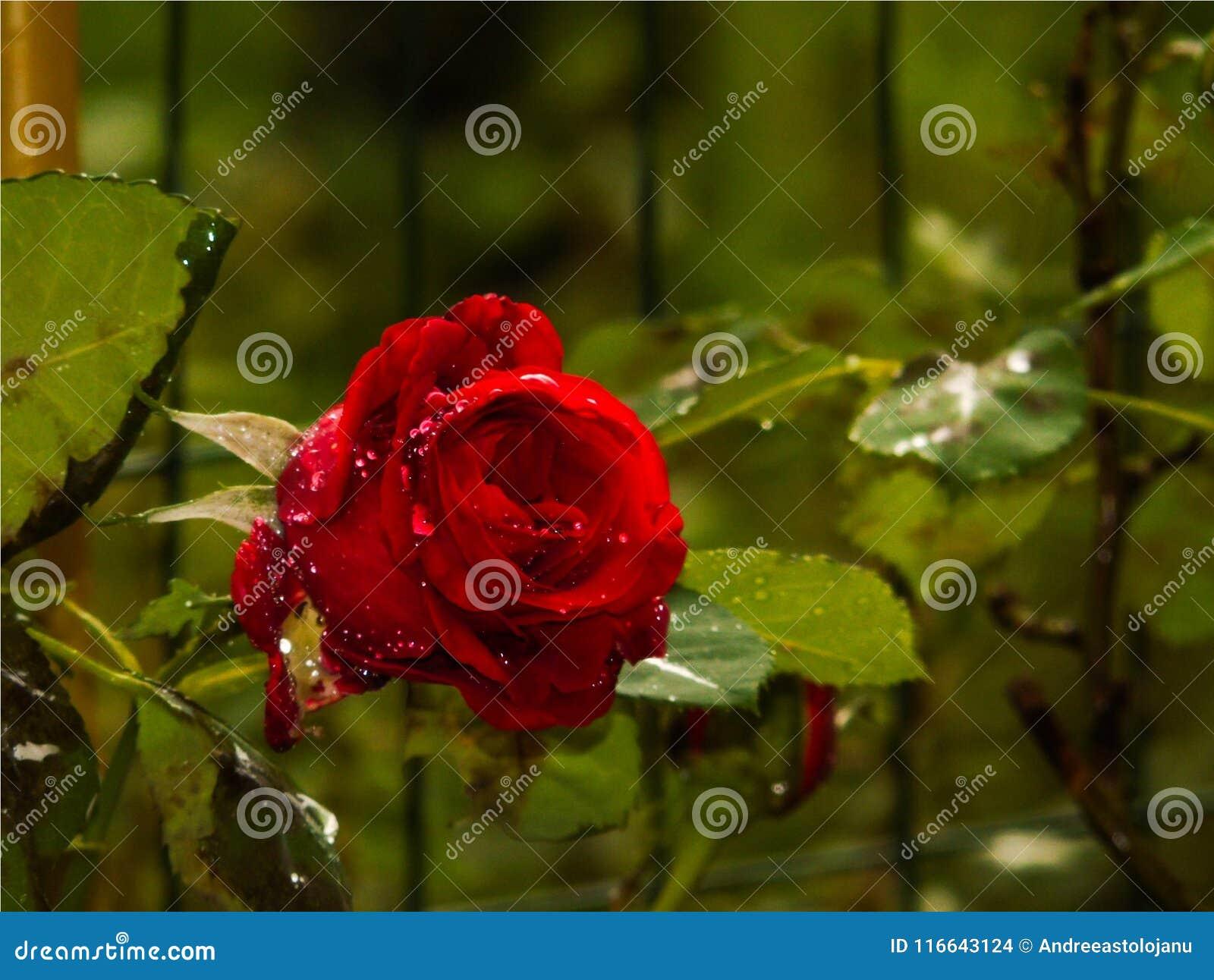 La Rose De Rouge A Fleuri Avec Des Gouttes De Pluie Sur Les Petales