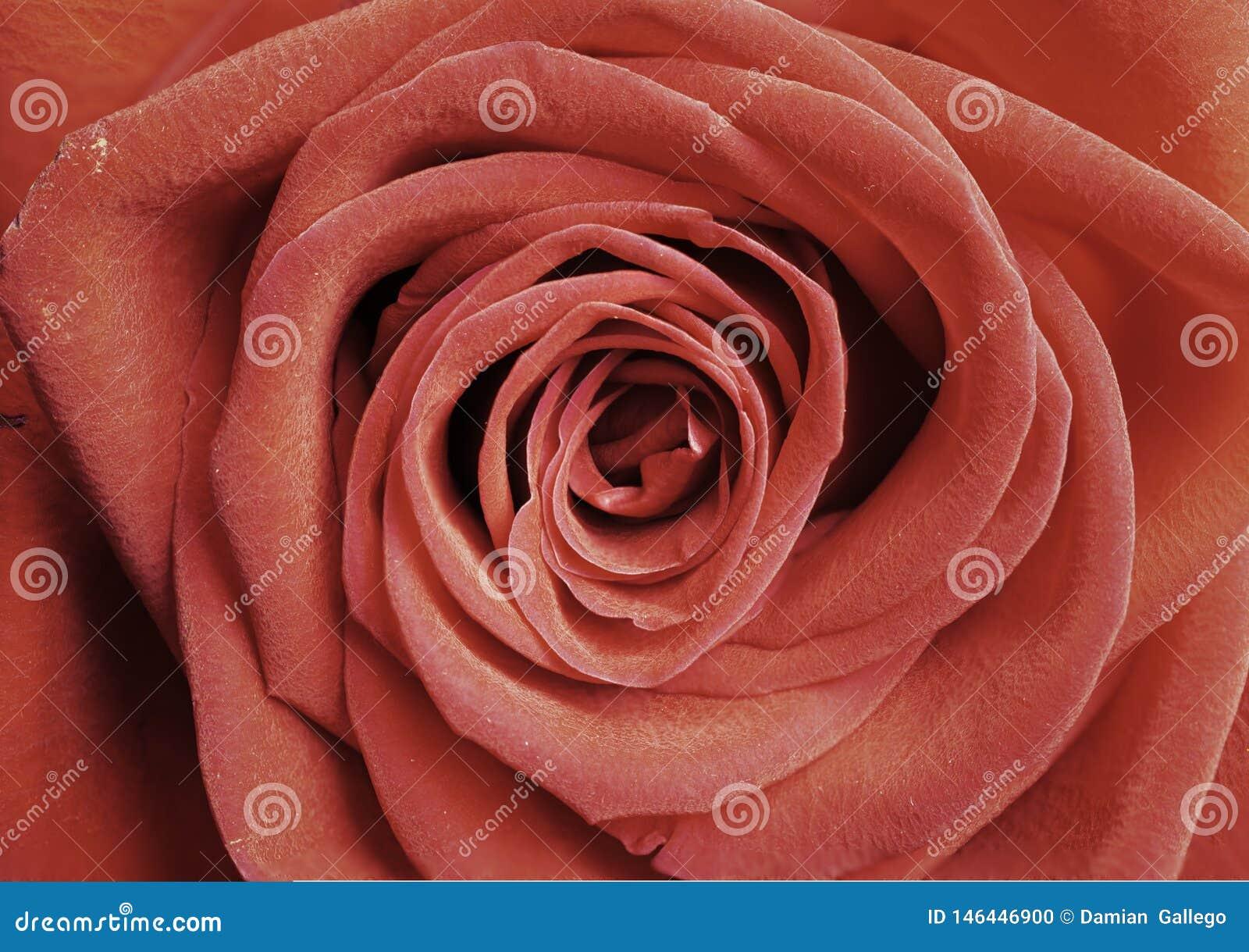 La rose rouge simple comme fond, plan rapproch? a tir?, culture horizontale