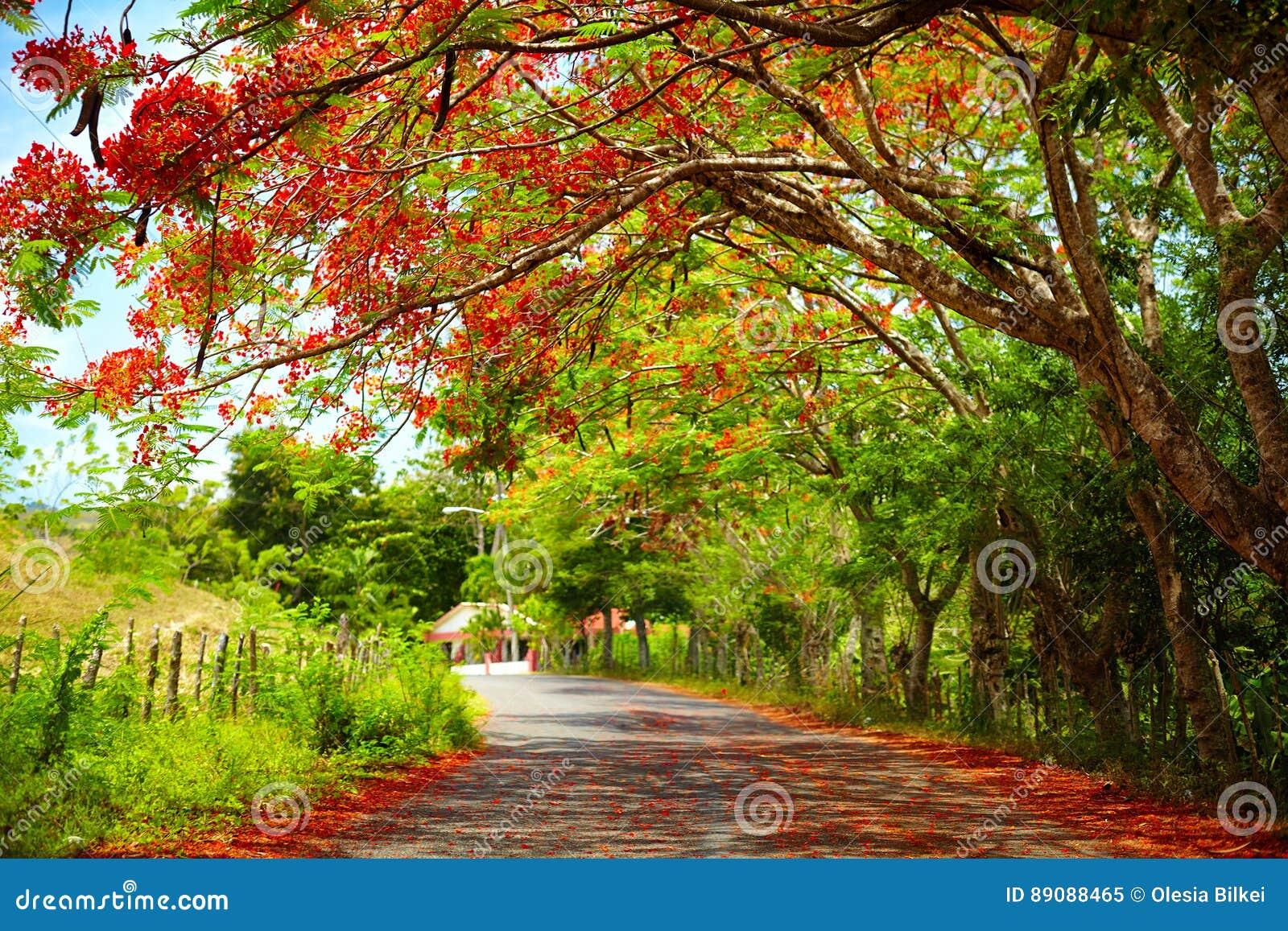 La route fascinante dans l ombre de l arbre de floraison de Regia de Delonix, celui mène à Pico Isabel de Torres, République Domi