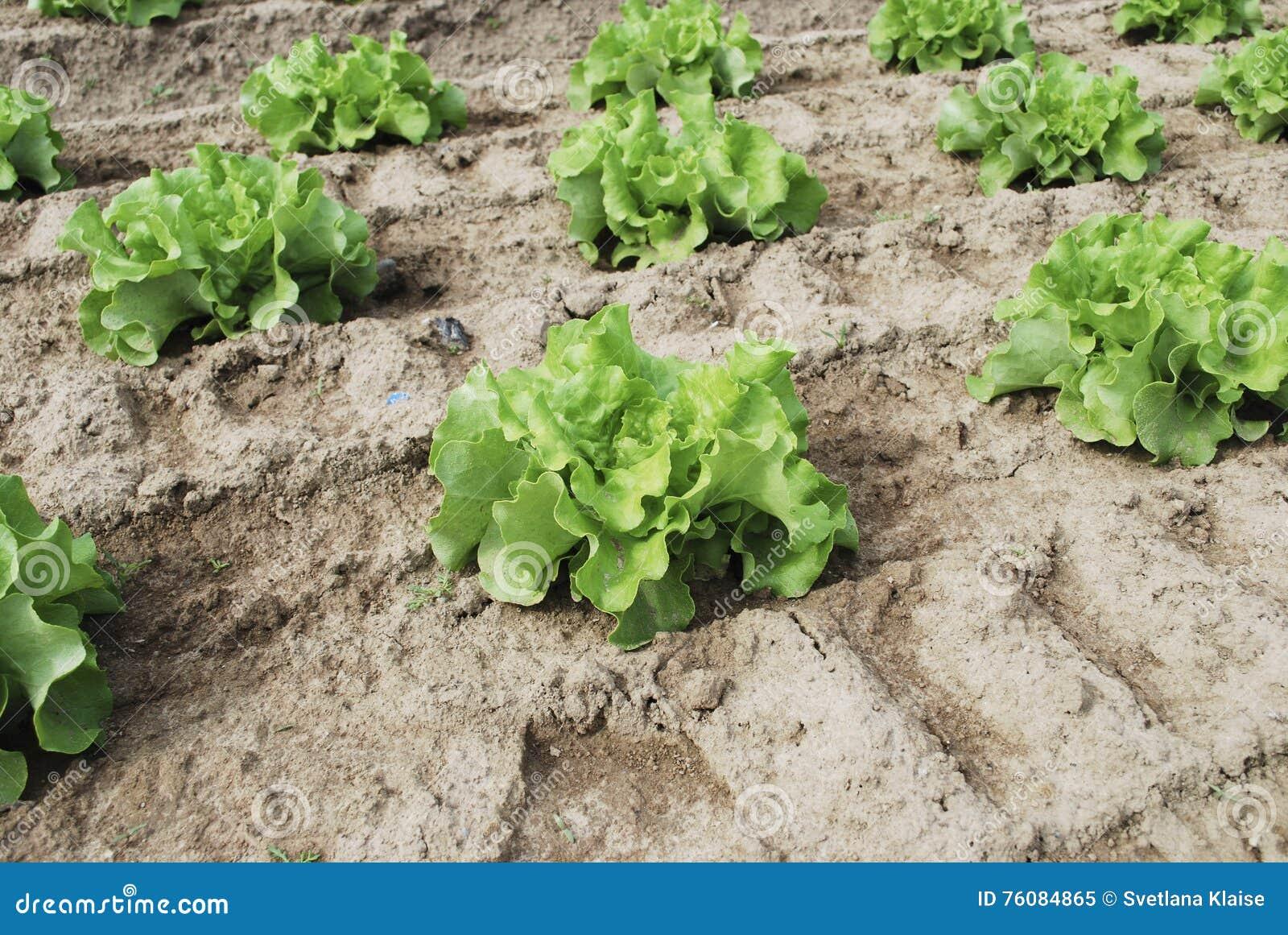 La salade verte se développe dans le domaine