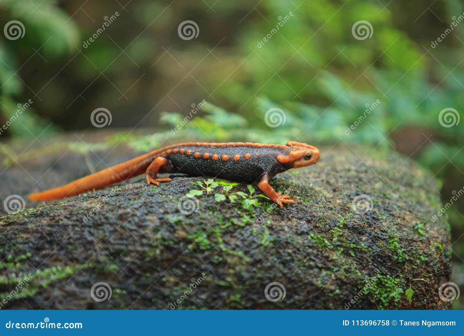 La salamandra del coccodrillo è stata trovata su Doi Inthanon, il hig