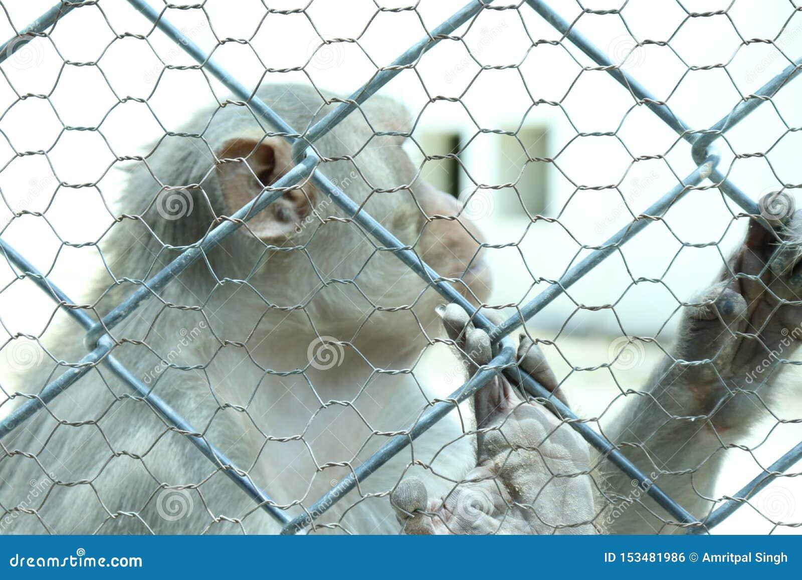 La scimmia è animali sociali abili