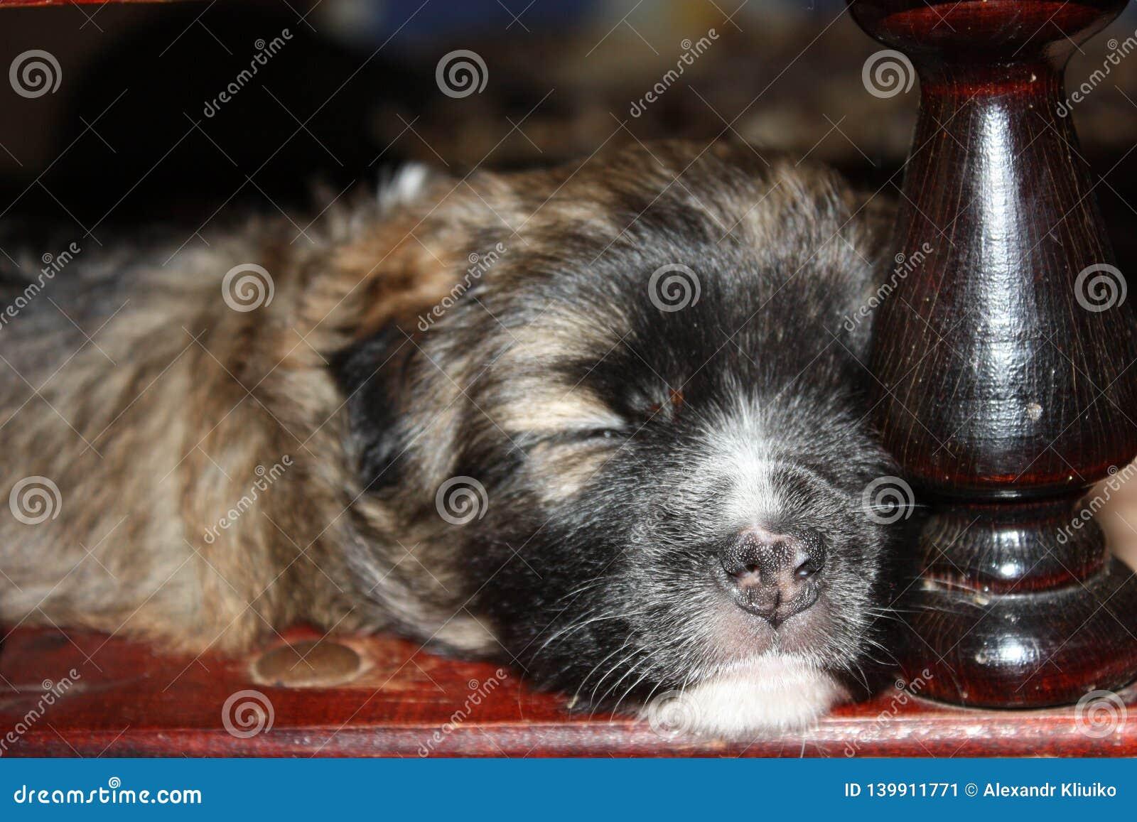 La seconda settimana del cucciolo sta dormendo Primo piano