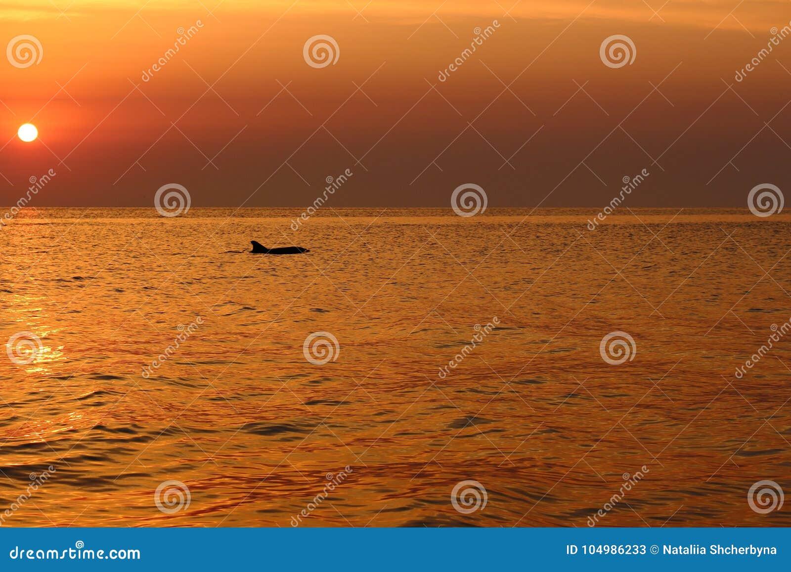 La silhouette de dauphin en mer ondule tôt le matin contre le lever de soleil et le beau ciel pourpre Vacances d été sur le backg