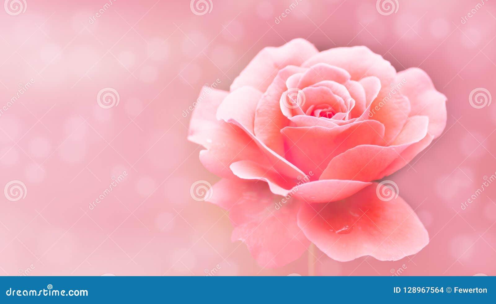La singola rosa rosa e bianca ha isolato il bokeh molle selettivo rosa del fondo della sfuocatura dal fondo del fuoco con uso di