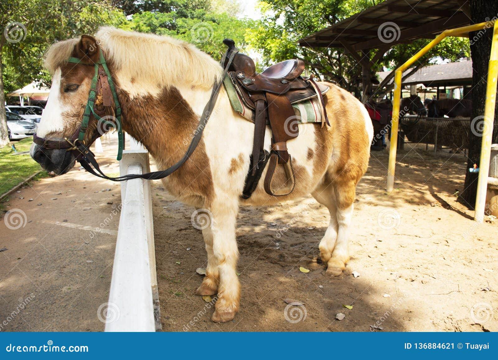 La situación enana del caballo se relaja en establo en la granja en Saraburi, Tailandia