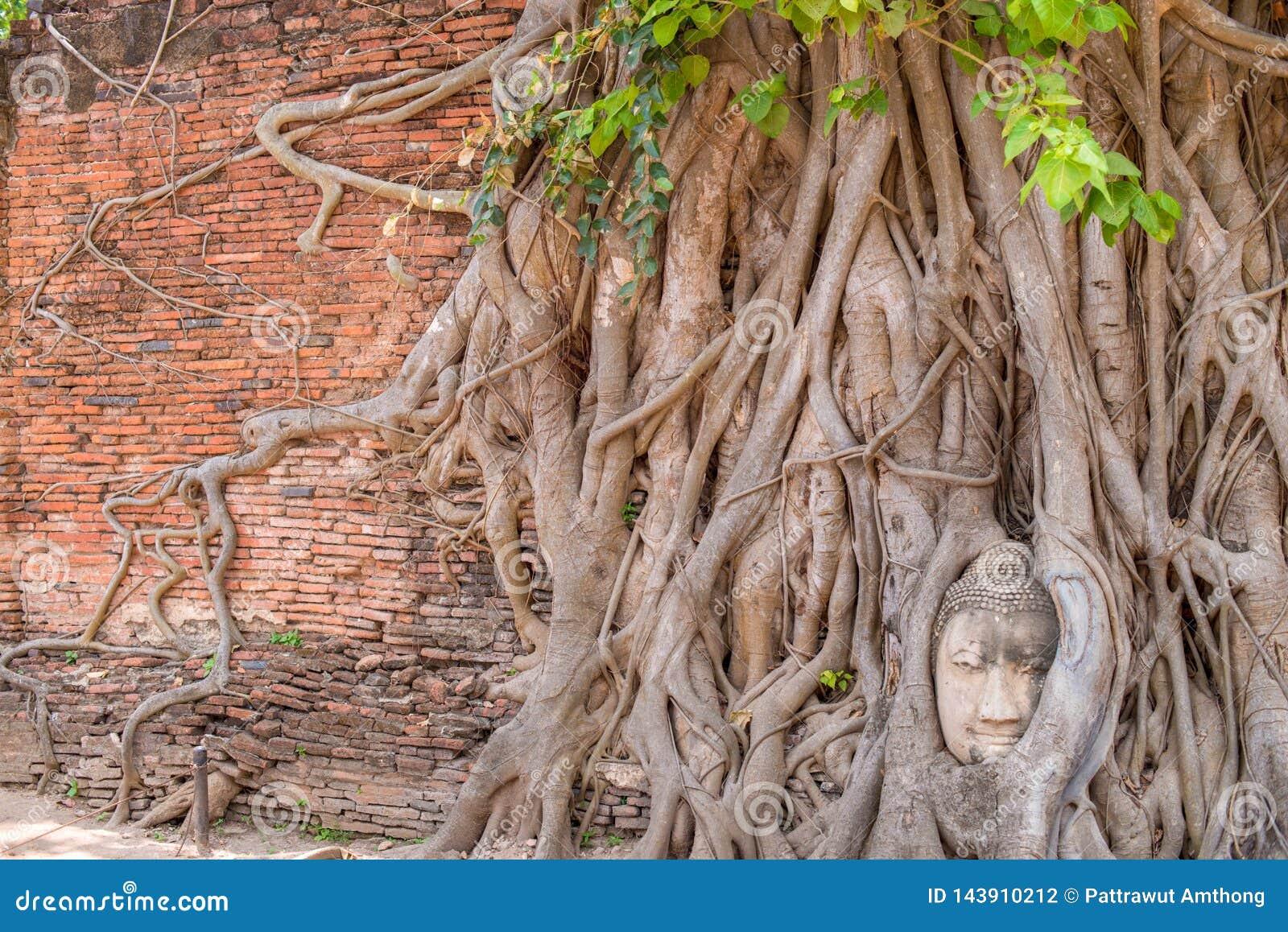 La tête de Bouddha dans l arbre