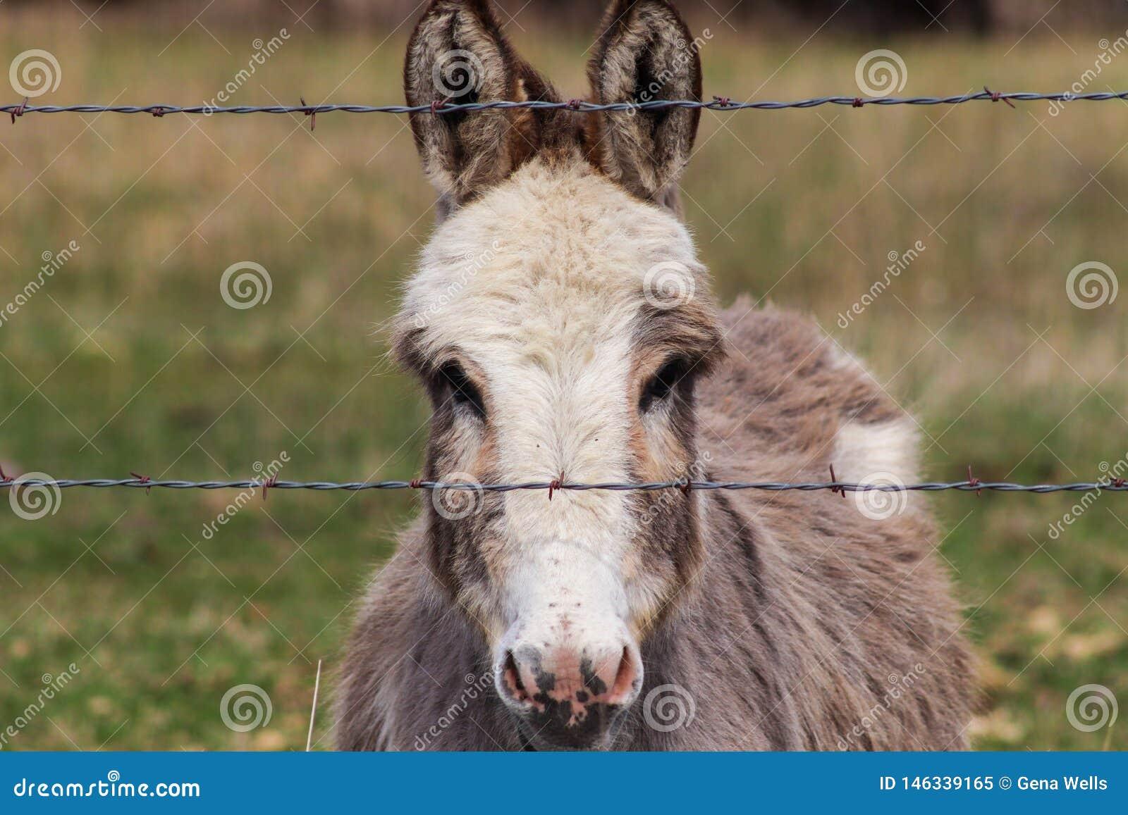 La tête a tiré d un âne miniature derrière la barrière