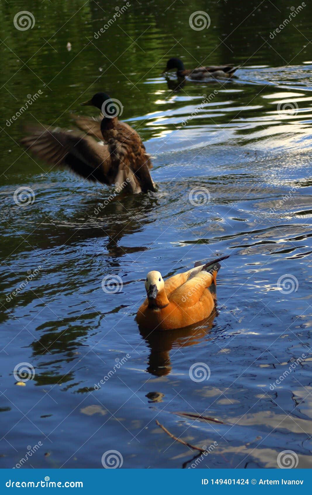 La tadorne vermeille entre les canards sur l étang