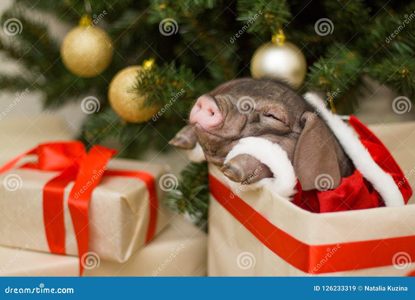 La tarjeta de la Navidad y del Año Nuevo con el cerdo recién nacido lindo de santa en regalo presenta la caja Símbolo de las deco