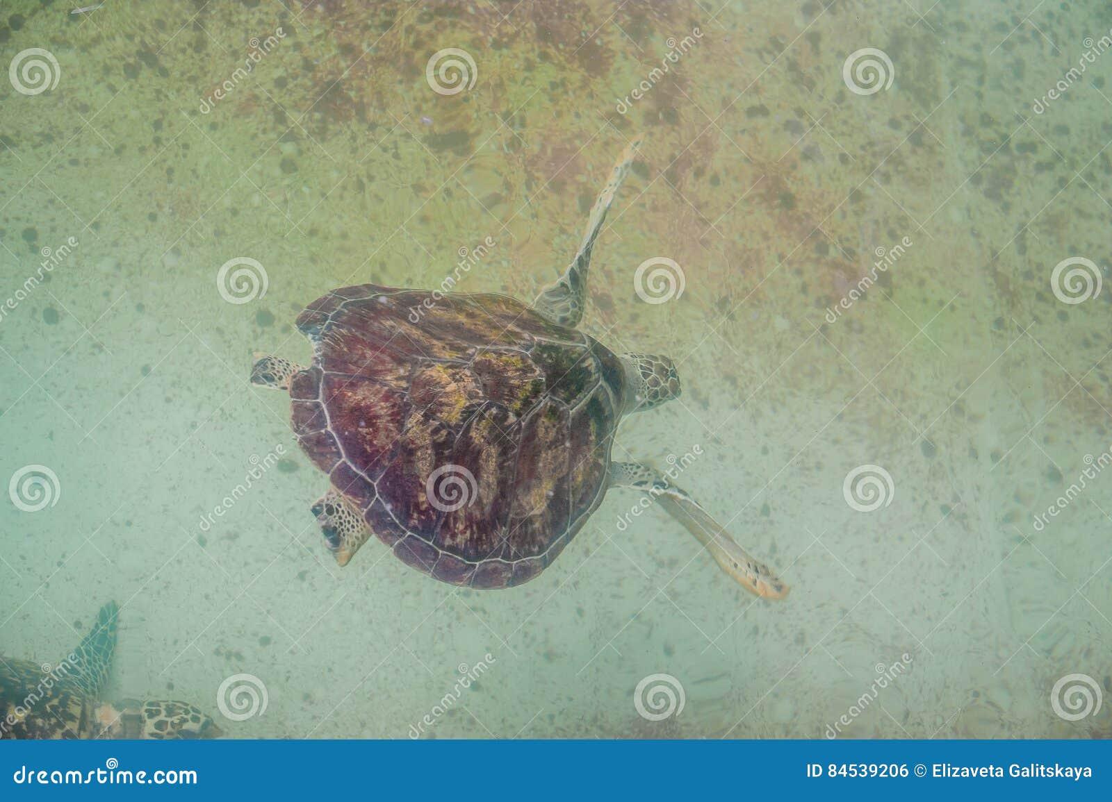La tartaruga di mare nuota nell 39 acquario vista da sopra for Tartaruga da acquario