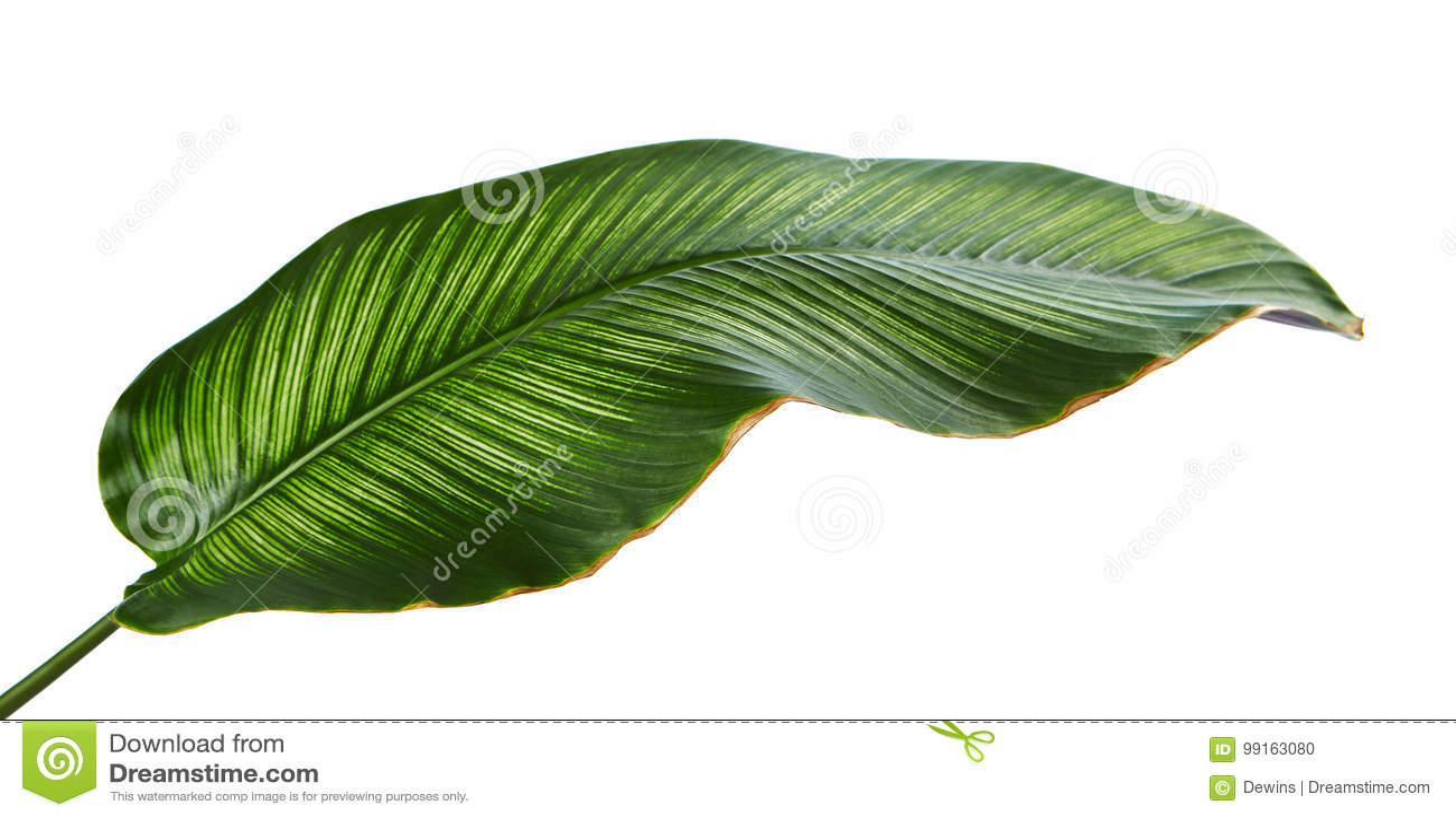 La tela a rayas Calathea del ornata de Calathea se va, follaje tropical aislado en el fondo blanco