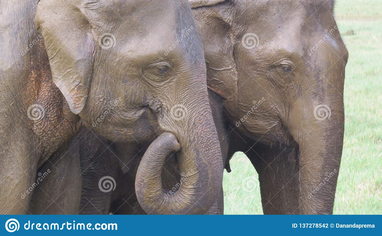 La testa si chiude su degli elefanti nel parco nazionale di Minneriya