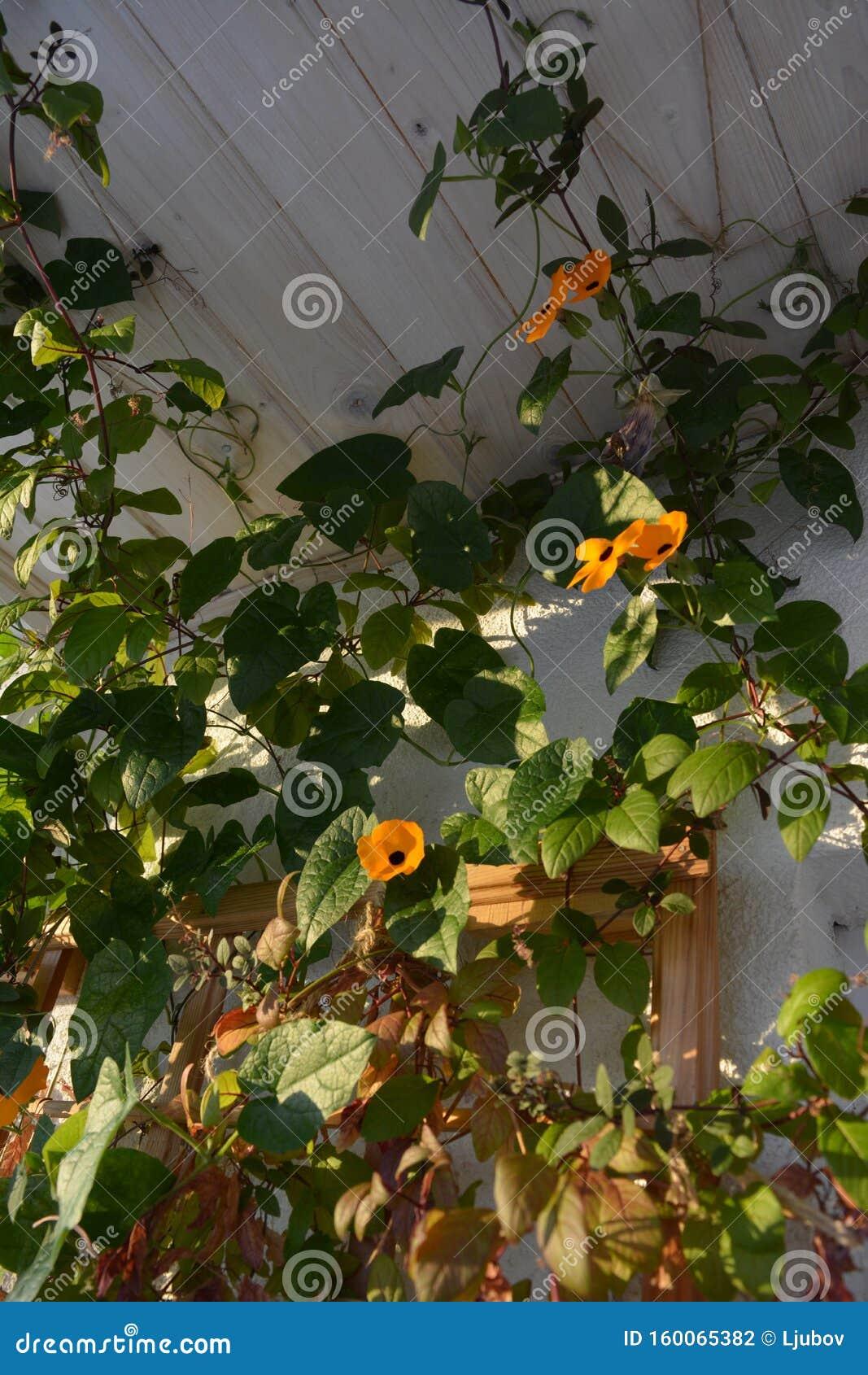 La Thunbergia Aux Fleurs Orangees Pousse Pres Du Mur Du Balcon Jardin Fleuri Avec Plantes Grimpantes Photo Stock Image Du Plantes Fleuri 160065382