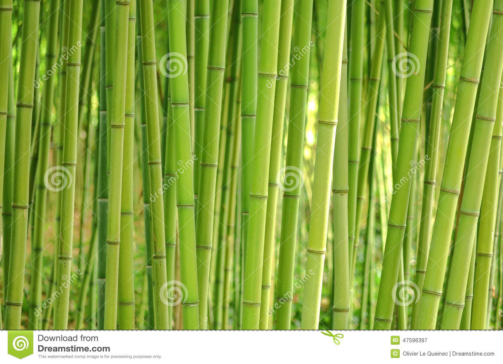 La tige en bambou d 39 herbe plante des tiges dans le verger dense photo stock image 47596397 - Tige bambou artificiel ...