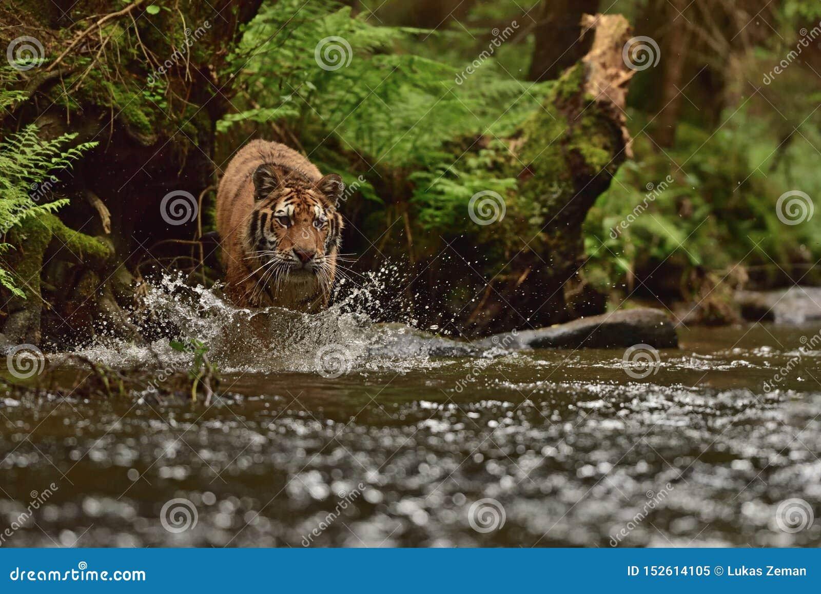 La tigre dell Amur della tigre siberiana - altaica del Tigri della panthera