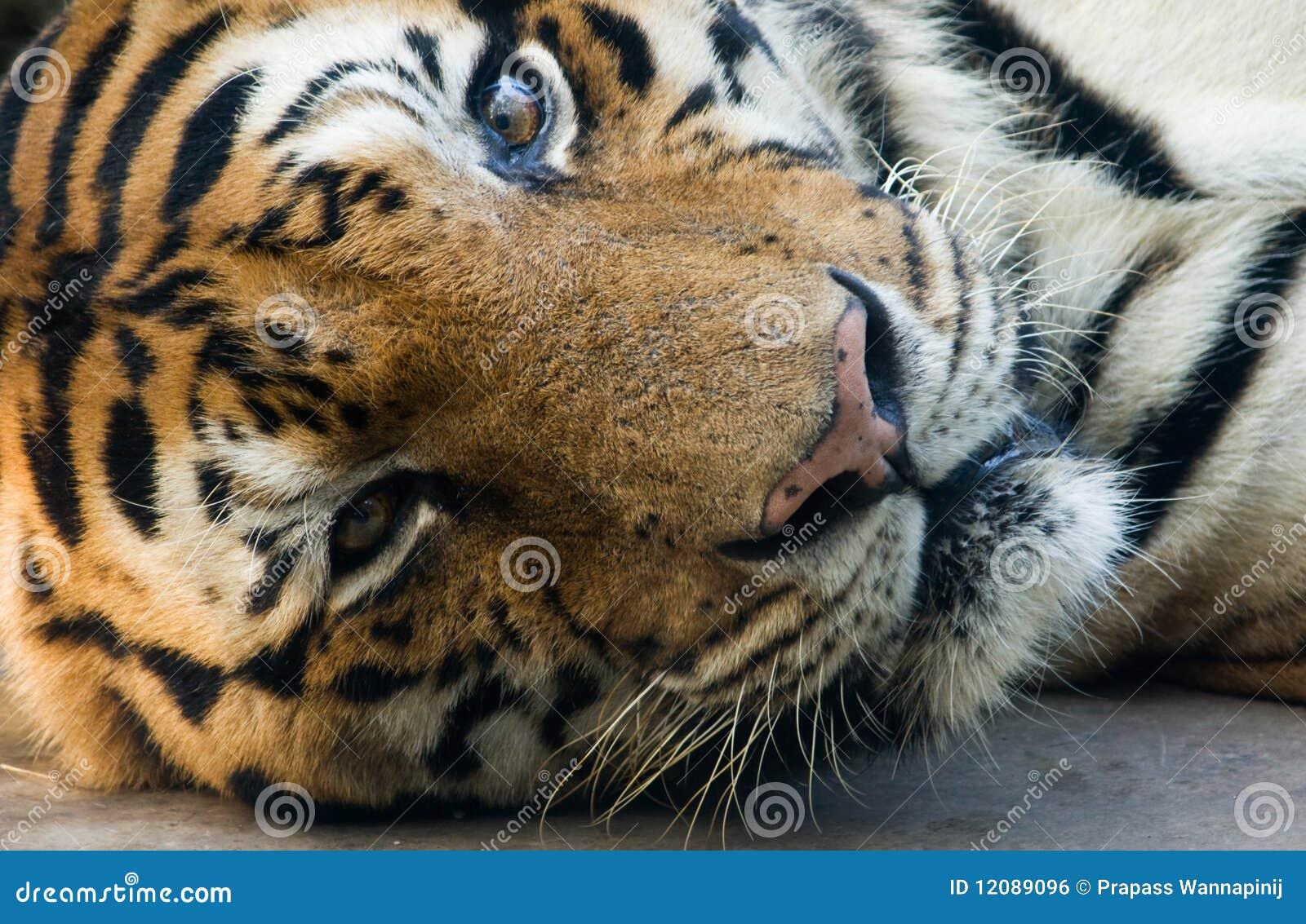 La tigre di Bangal in un giardino zoologico si trova giù e fissare