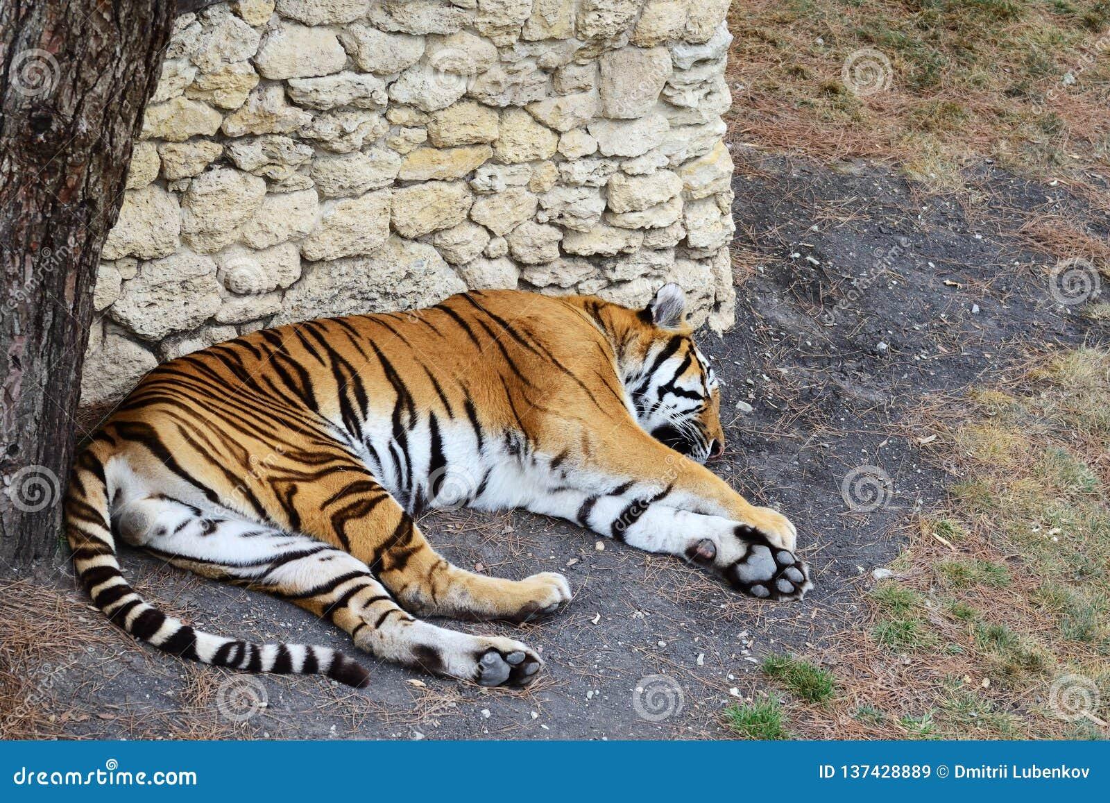La tigre dorme