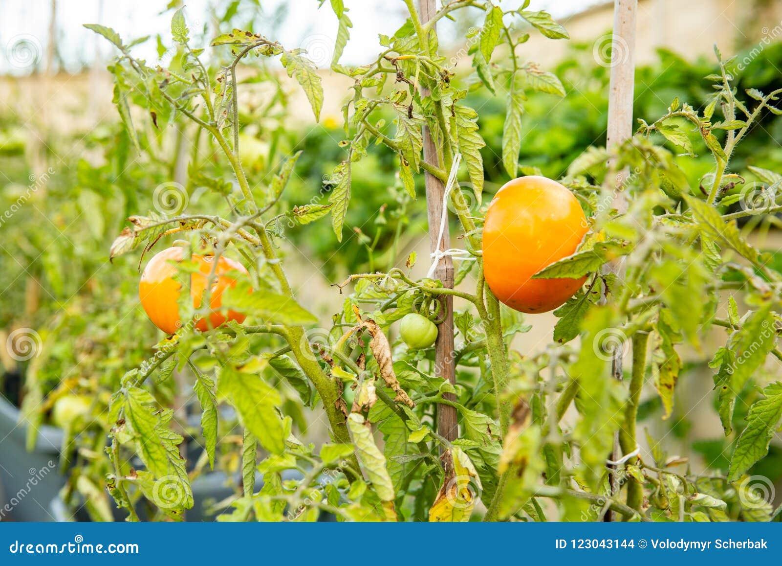 La tomate chantera sur une branche