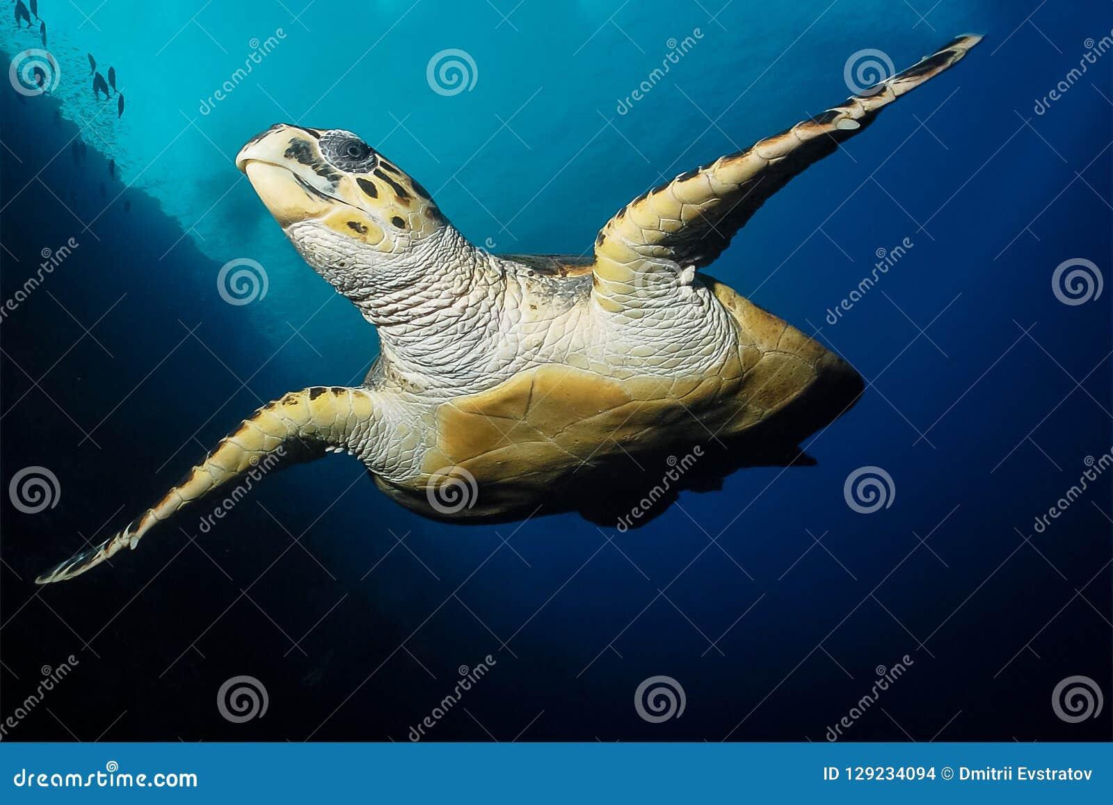 La tortue de mer nage en Mer Rouge
